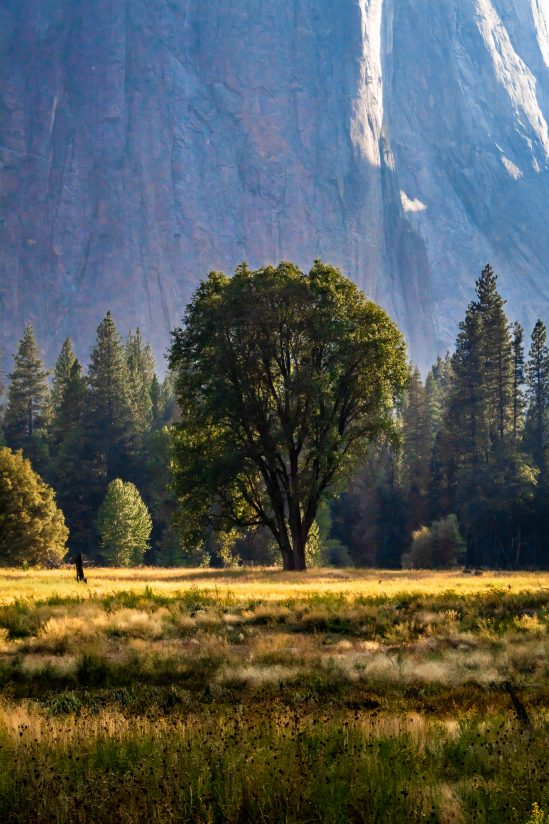 Lonely Yosemite Tree.. The tree stands alone… like the cheese