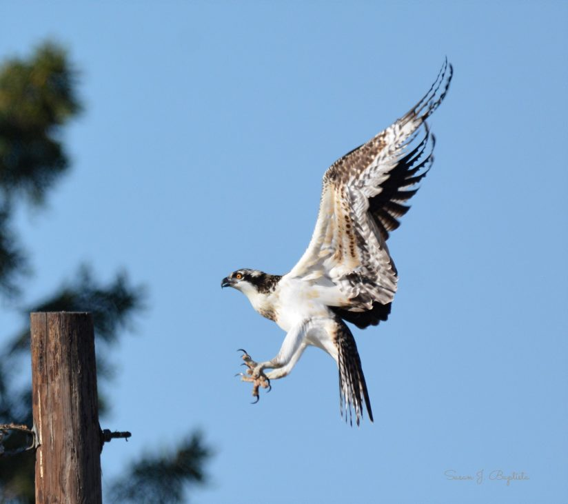 Osprey Juvie In Flight