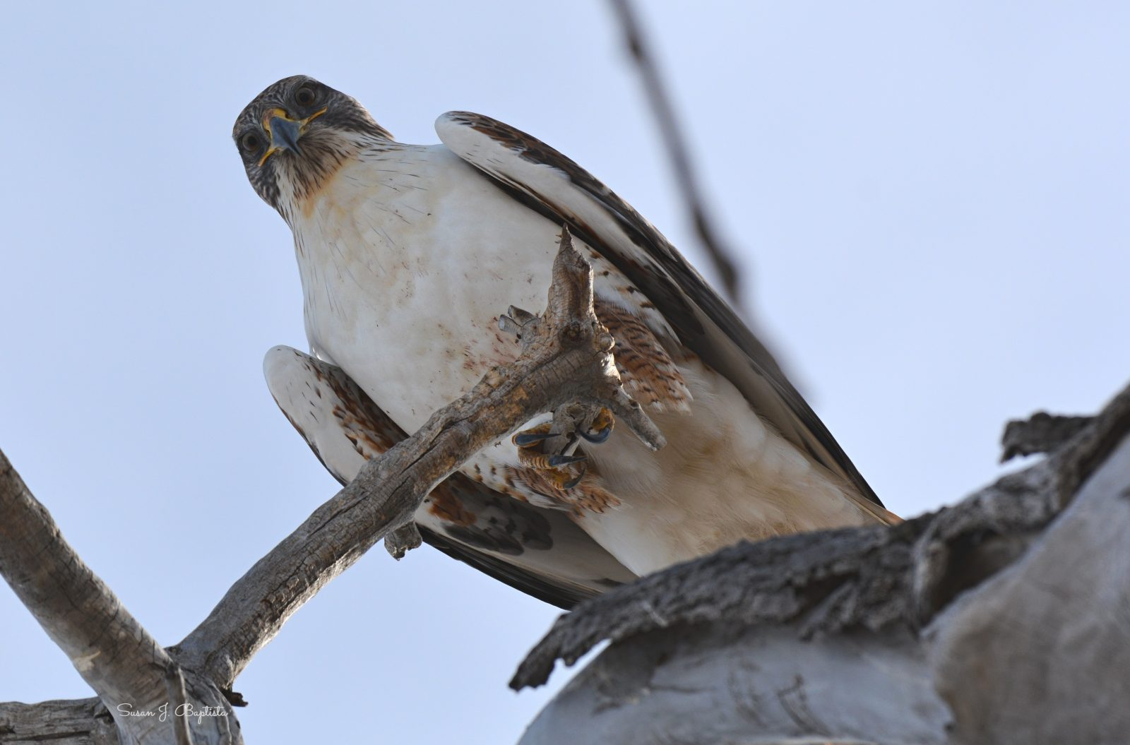 Red Tail Stare