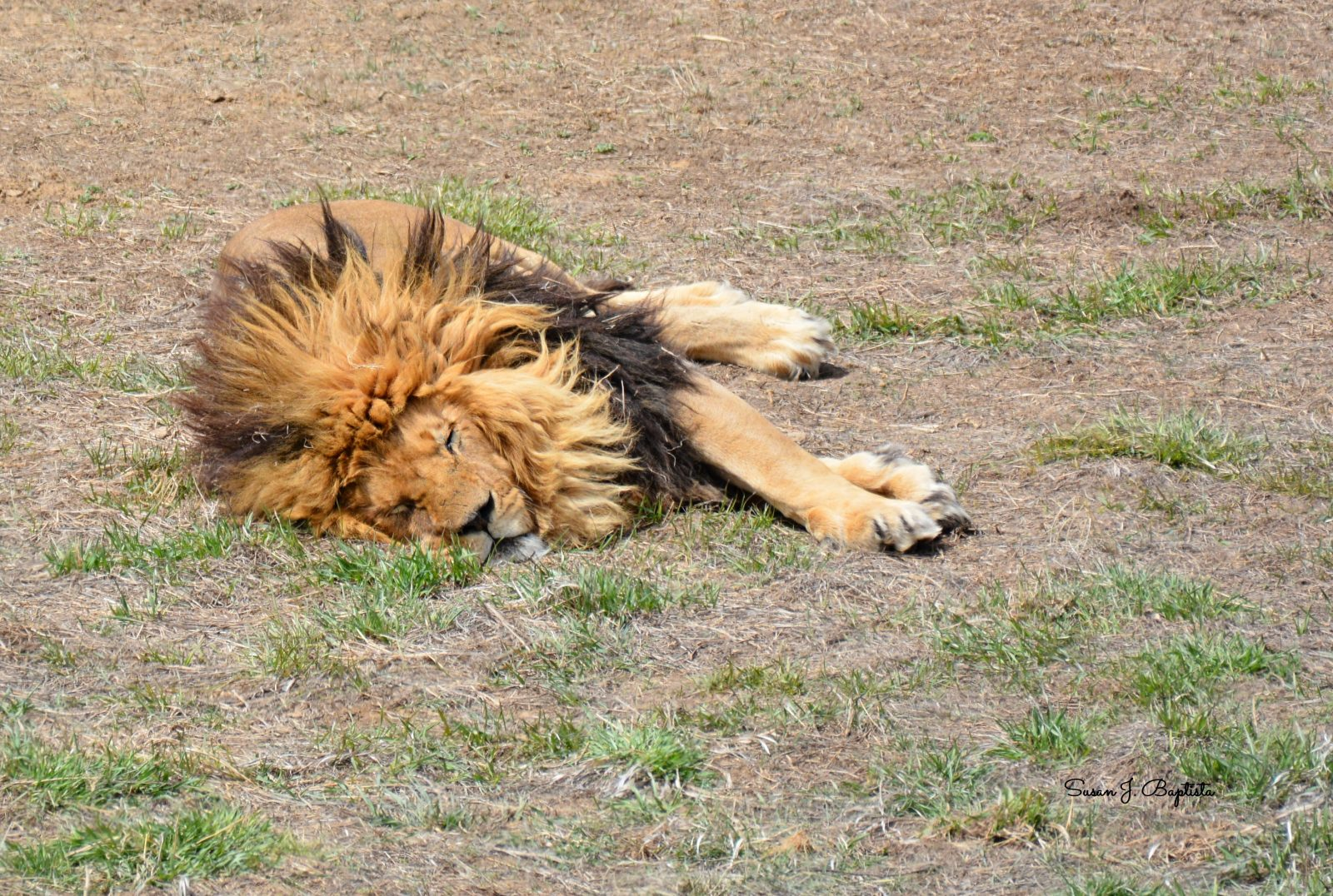Lion Nap-THe WIld Animal Sanctuary