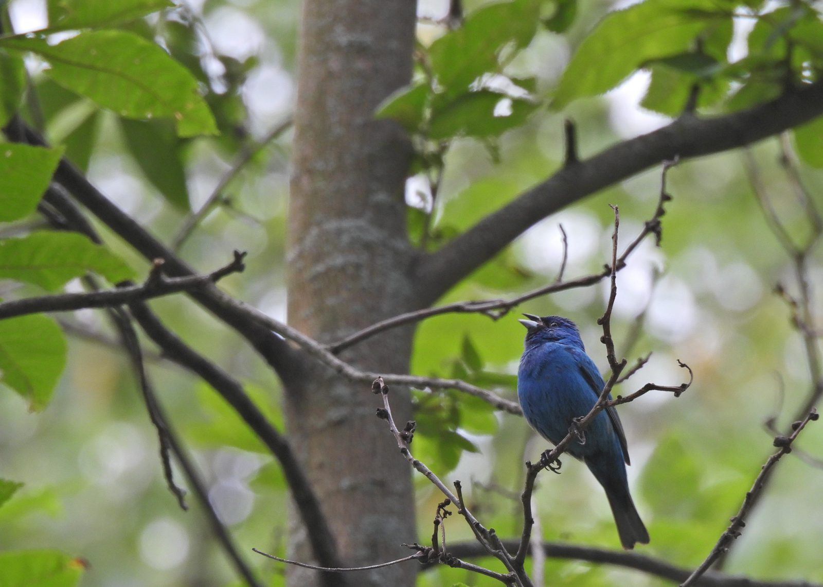 Singing the Blues in the Green Treetop