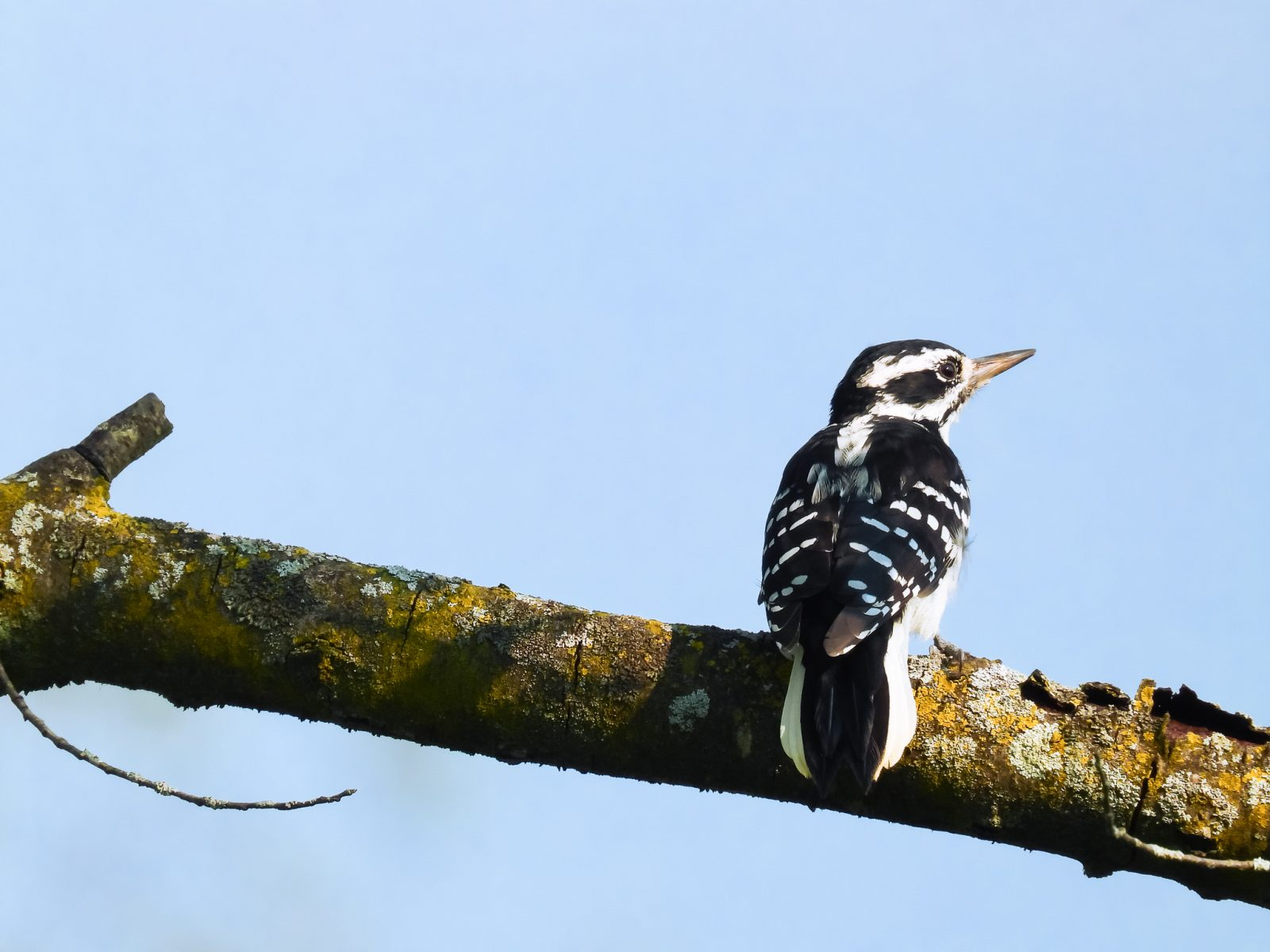 Downy Woodpecker Contemplating Life