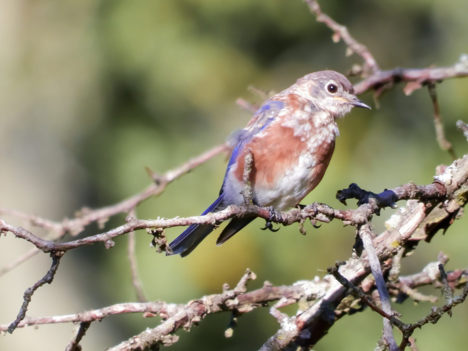Juvenile Eastern Bluebird Resting in Summer Sun Before First Migration