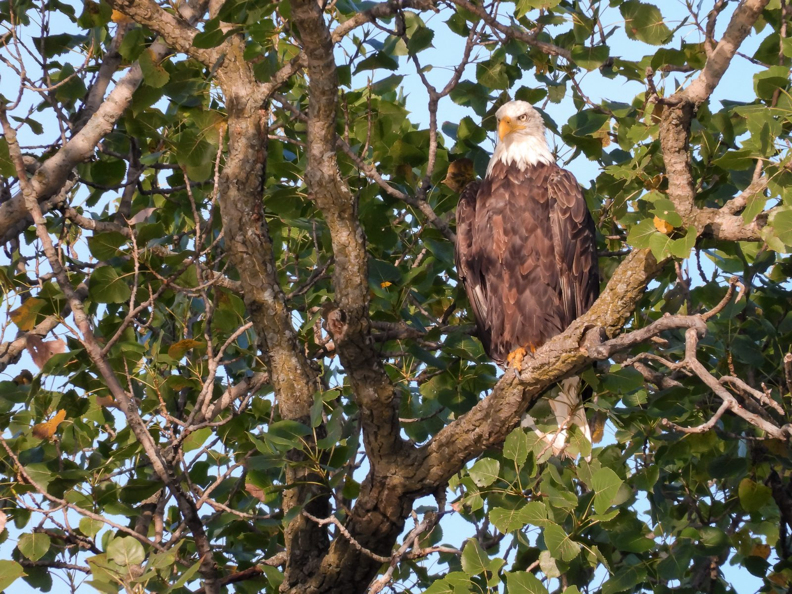 Bald Eagle on Security Watch