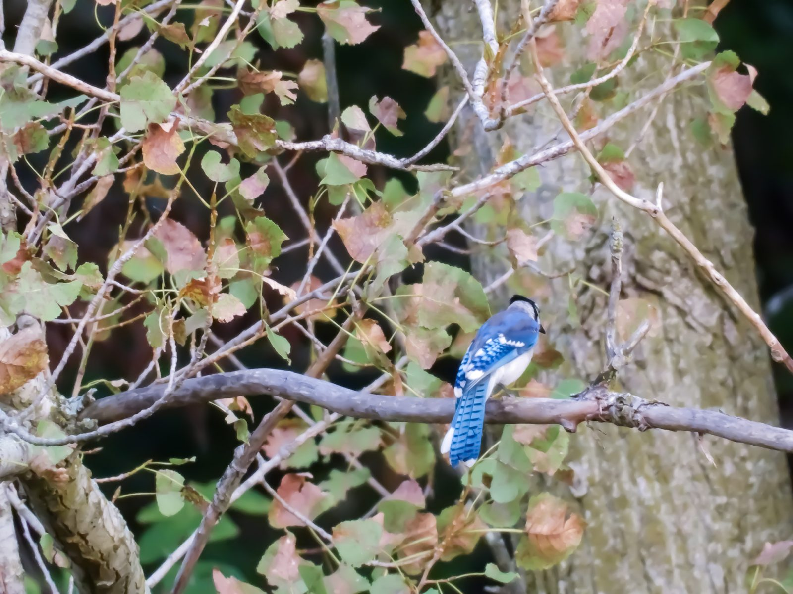 Shy Blue Jay on a Bare Tree Branch