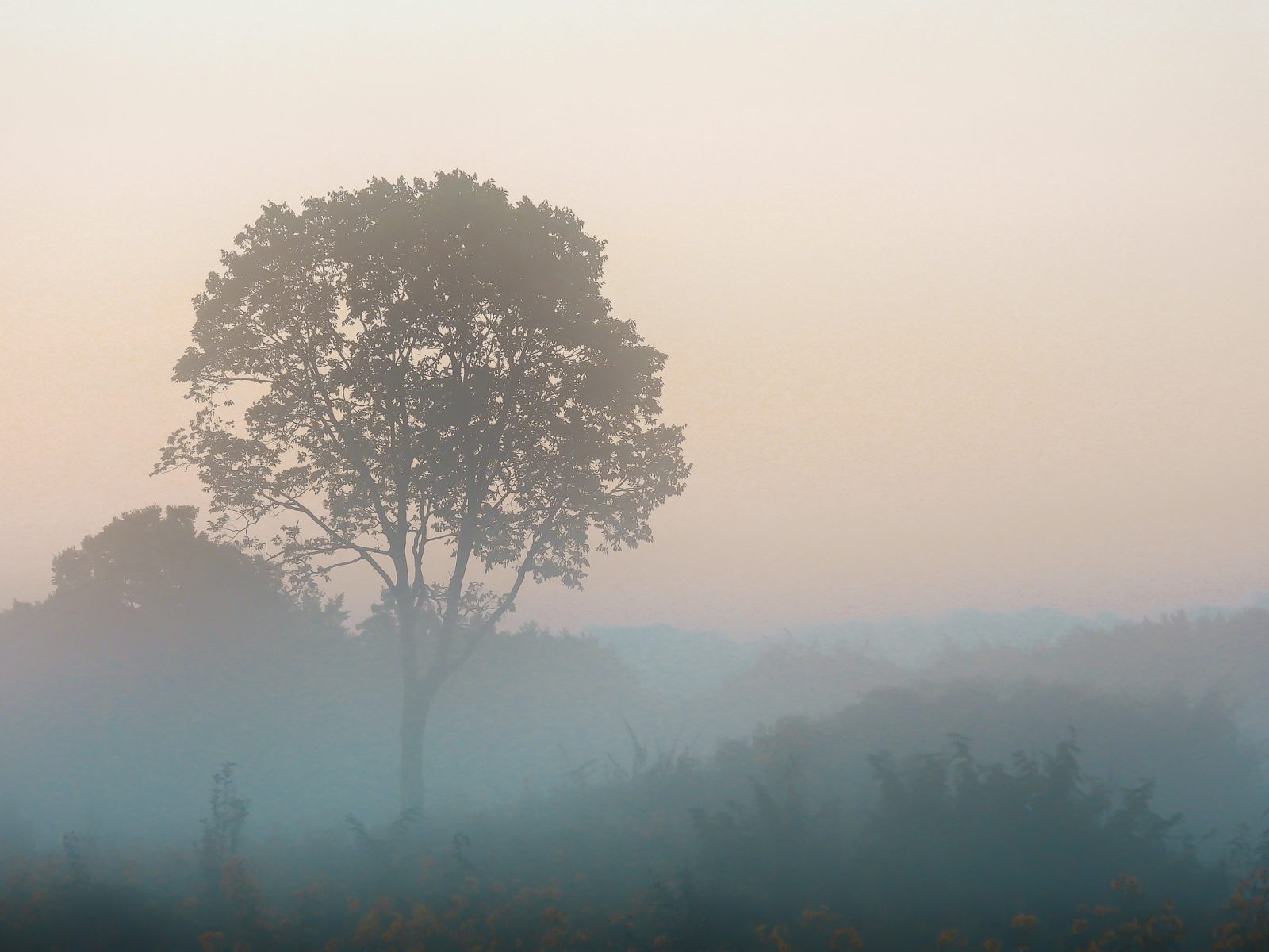 Towering Tree in the Misty Sunrise on the Prairie