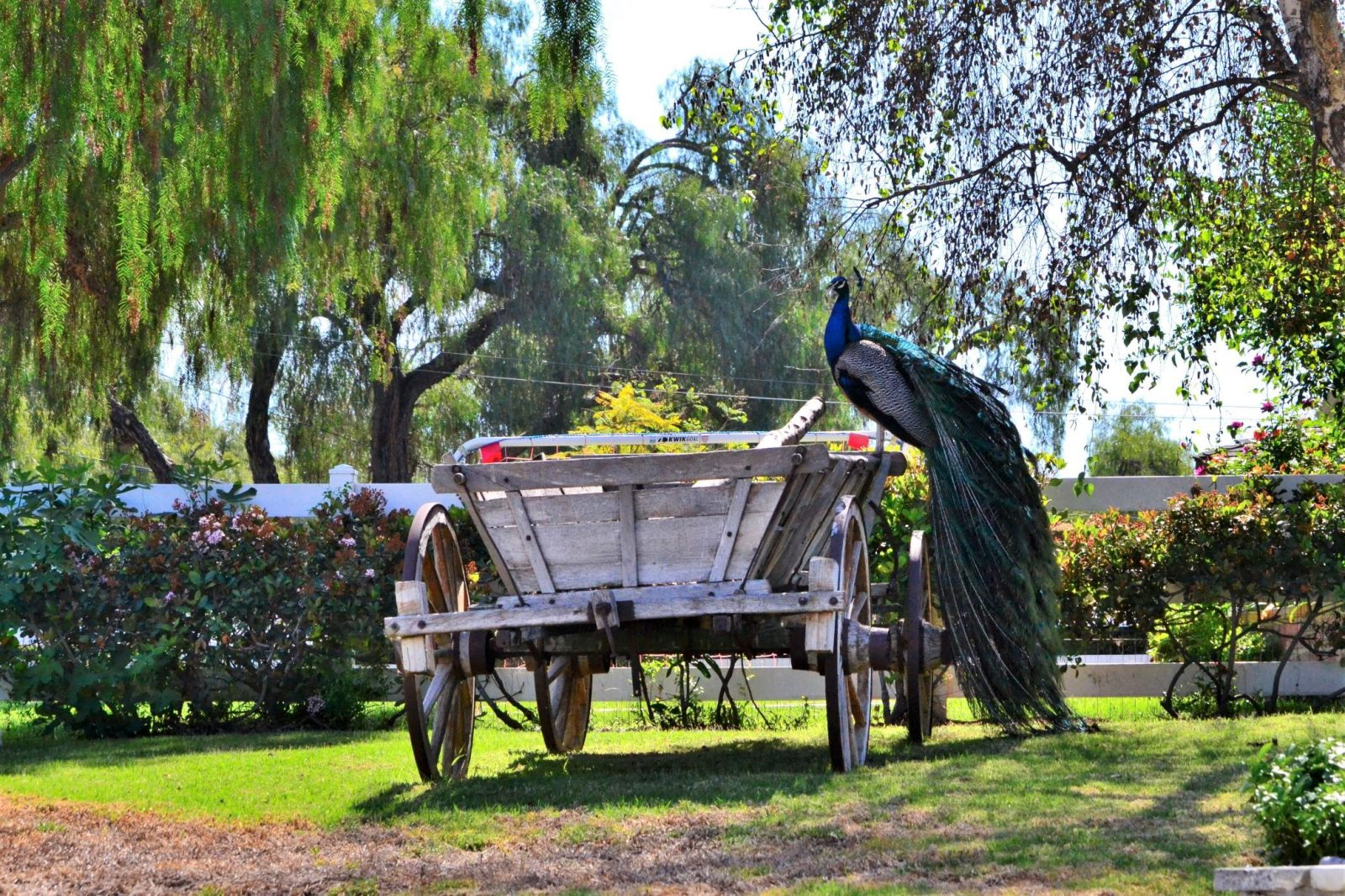 Peacock & Wagon