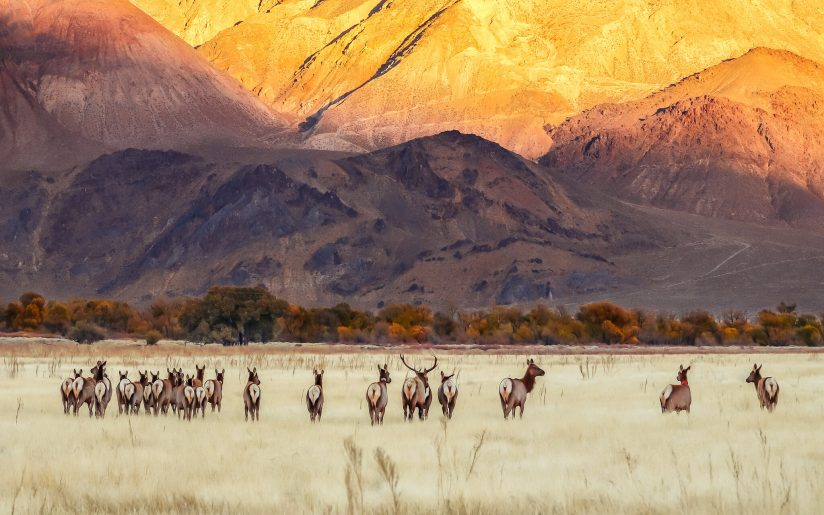 Tule Elk Herd & The Inyo Mountains