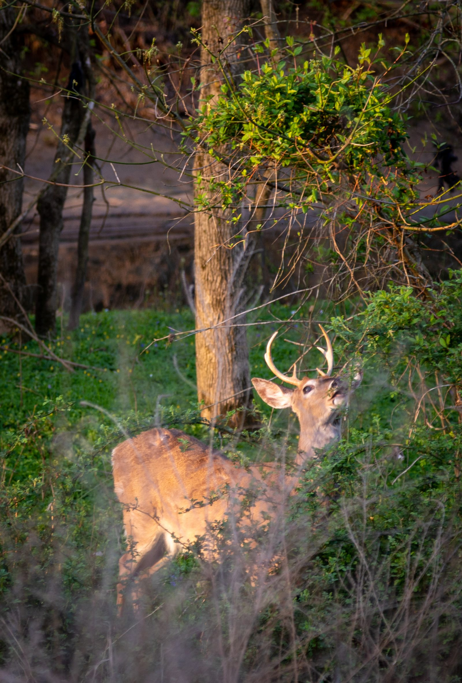 Sunshine Buck