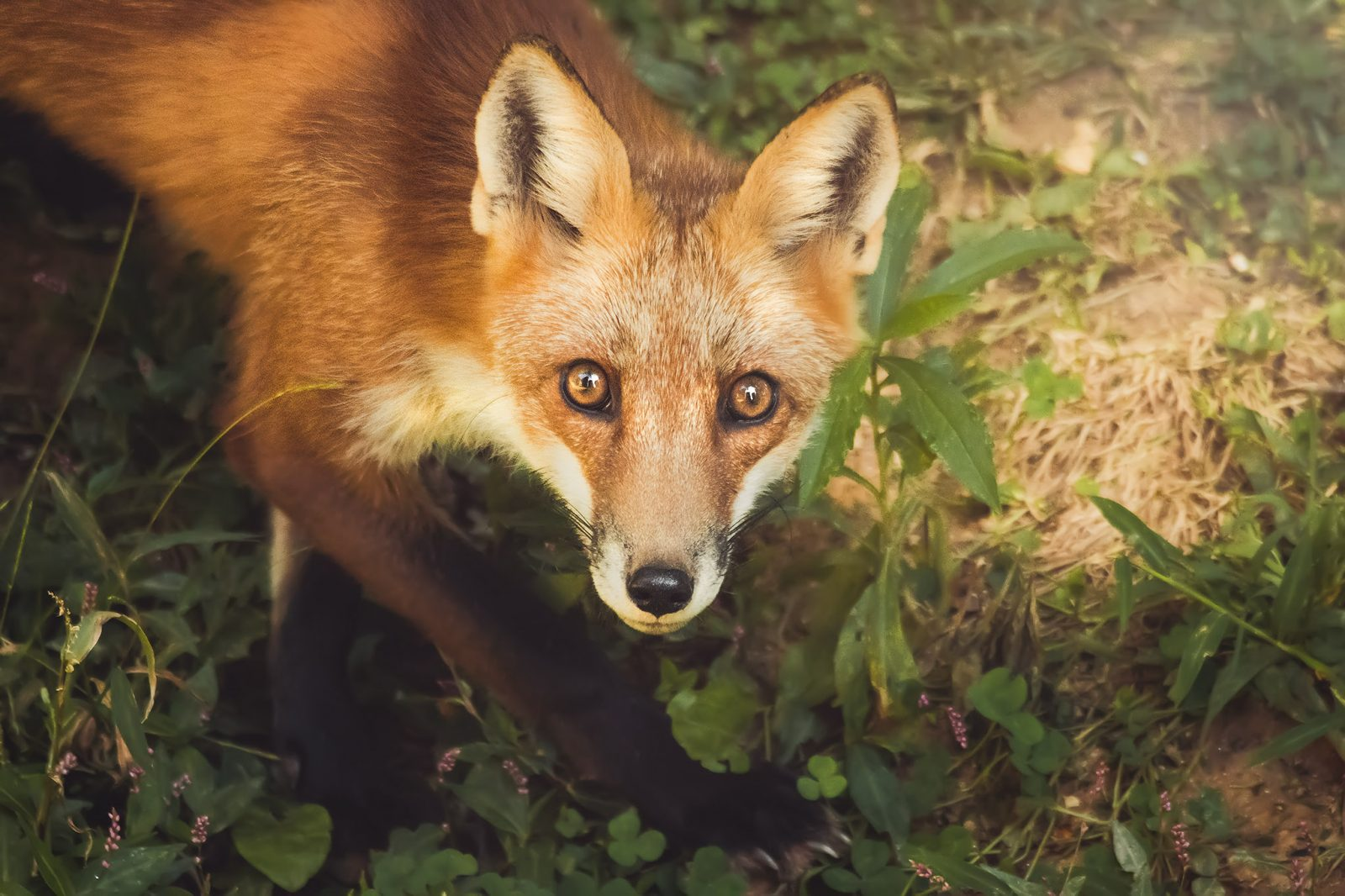 Red Fox Looking