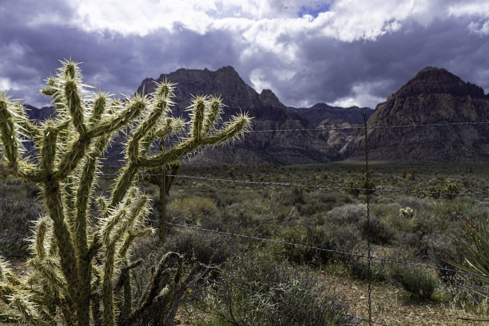 Cactus in Red Rock Canyon