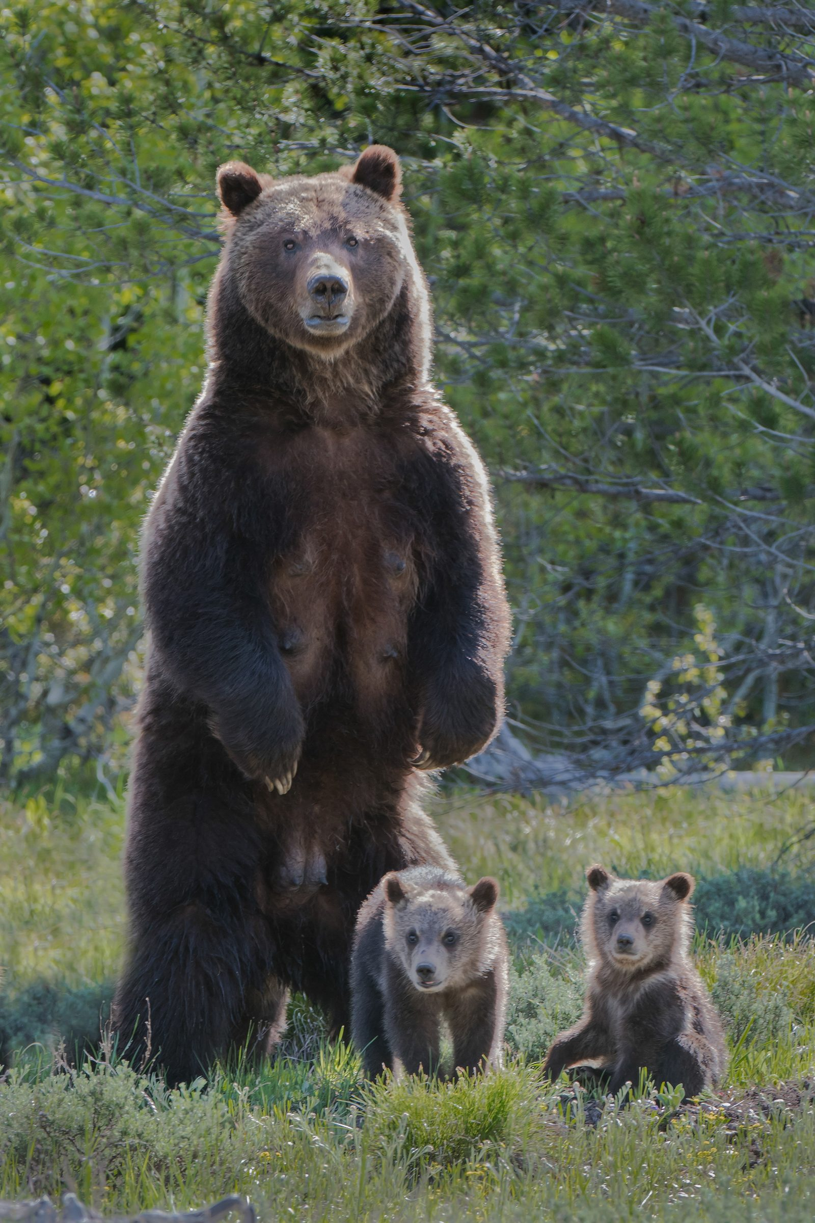 Grizzly Bear Sow & Cubs