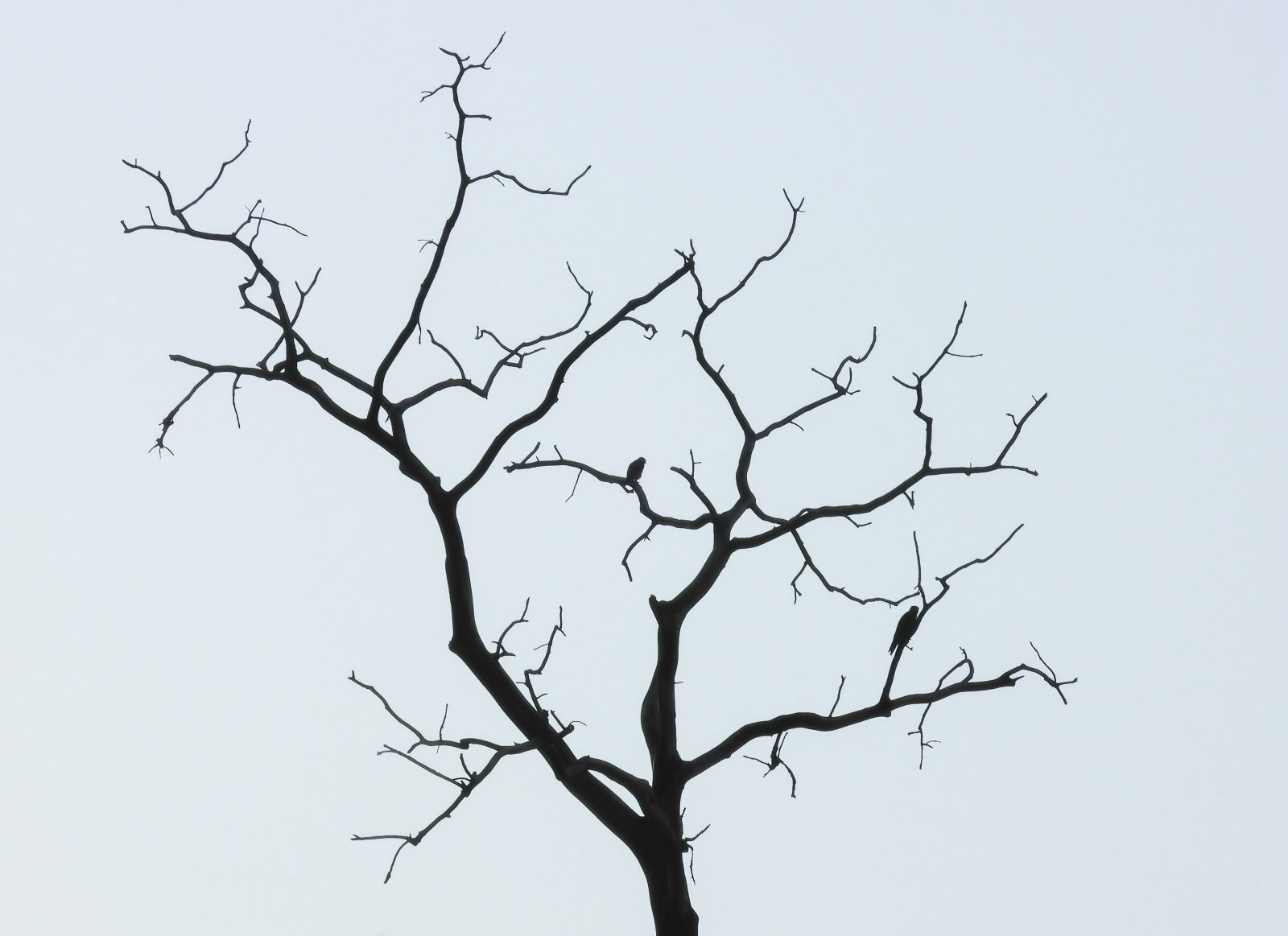 Two Copper's Hawks in Bare Tree on Cloudy Day