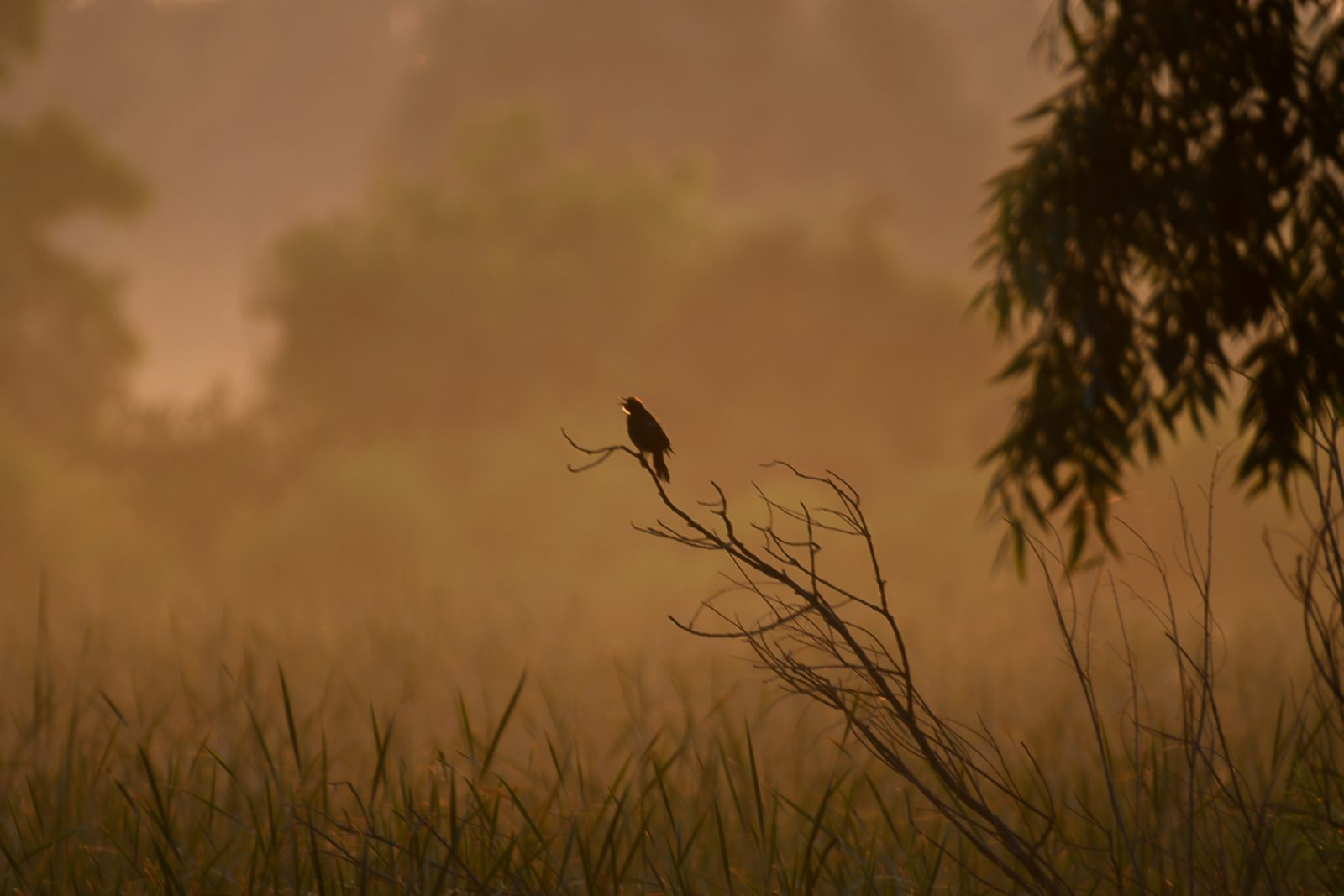Red-Winged Blackbird Sings in a Misty Summer Morning at Sunrise