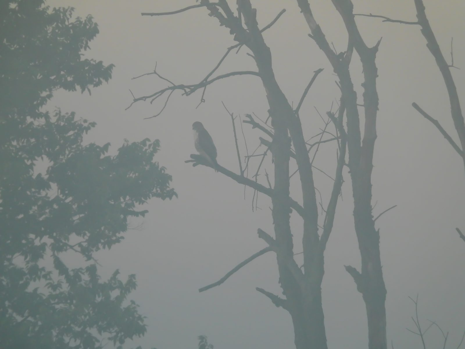Red-Tailed Hawk Sits on Bare Tree Hunting on Misty Warm Summer Morning