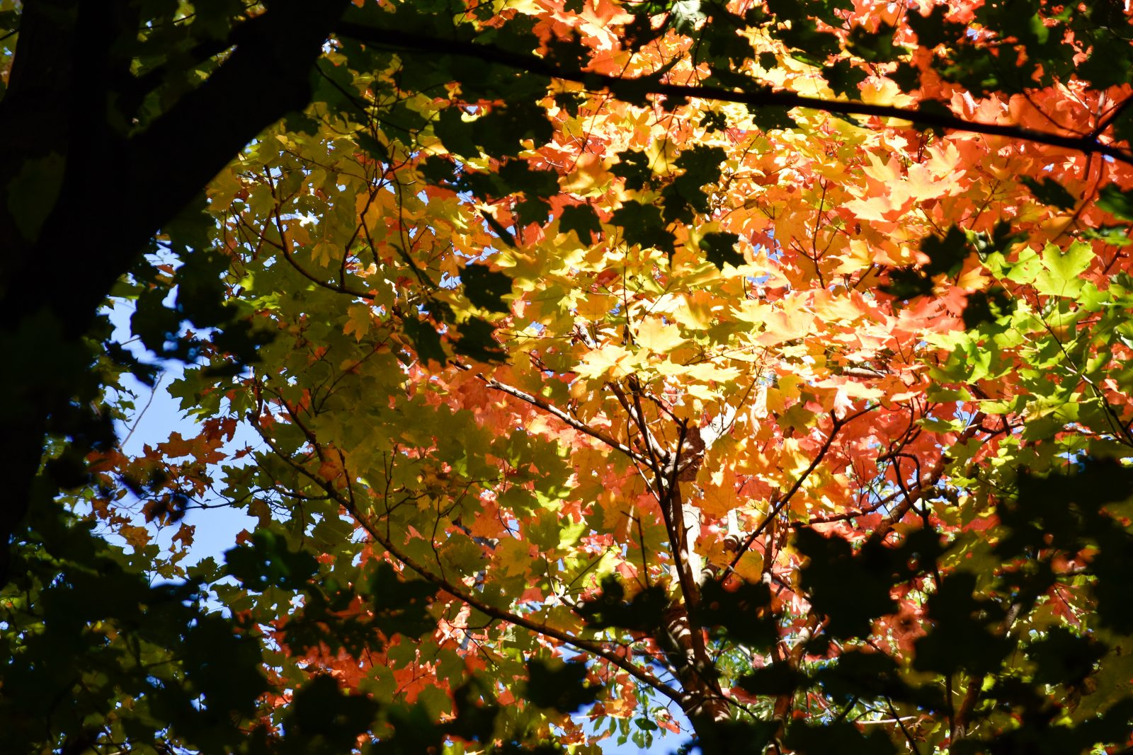 Start of Fall Seen Looking Up at Maple Tree