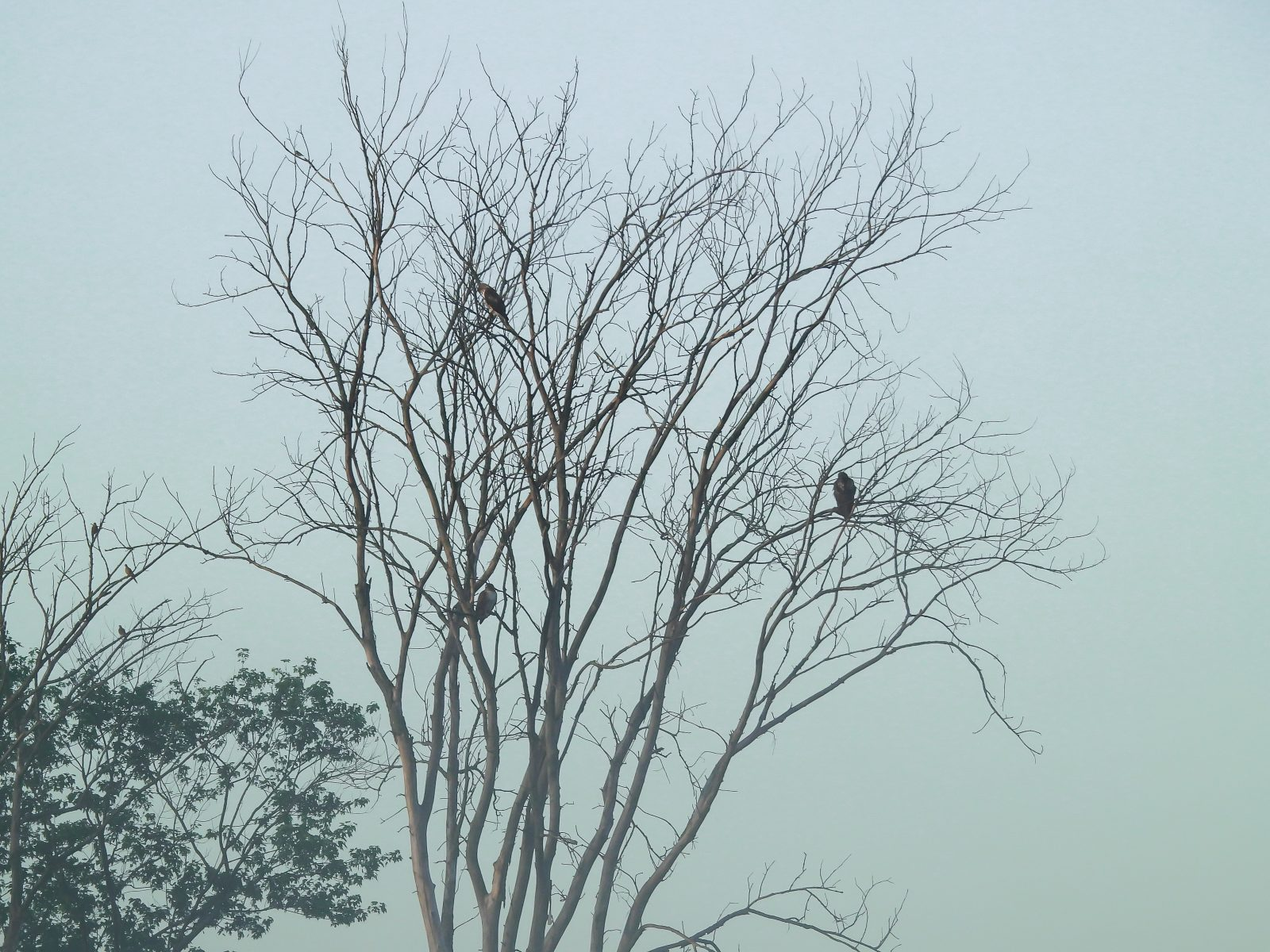Three Red-Tailed Hawks in a Bare Tree at Sunrise