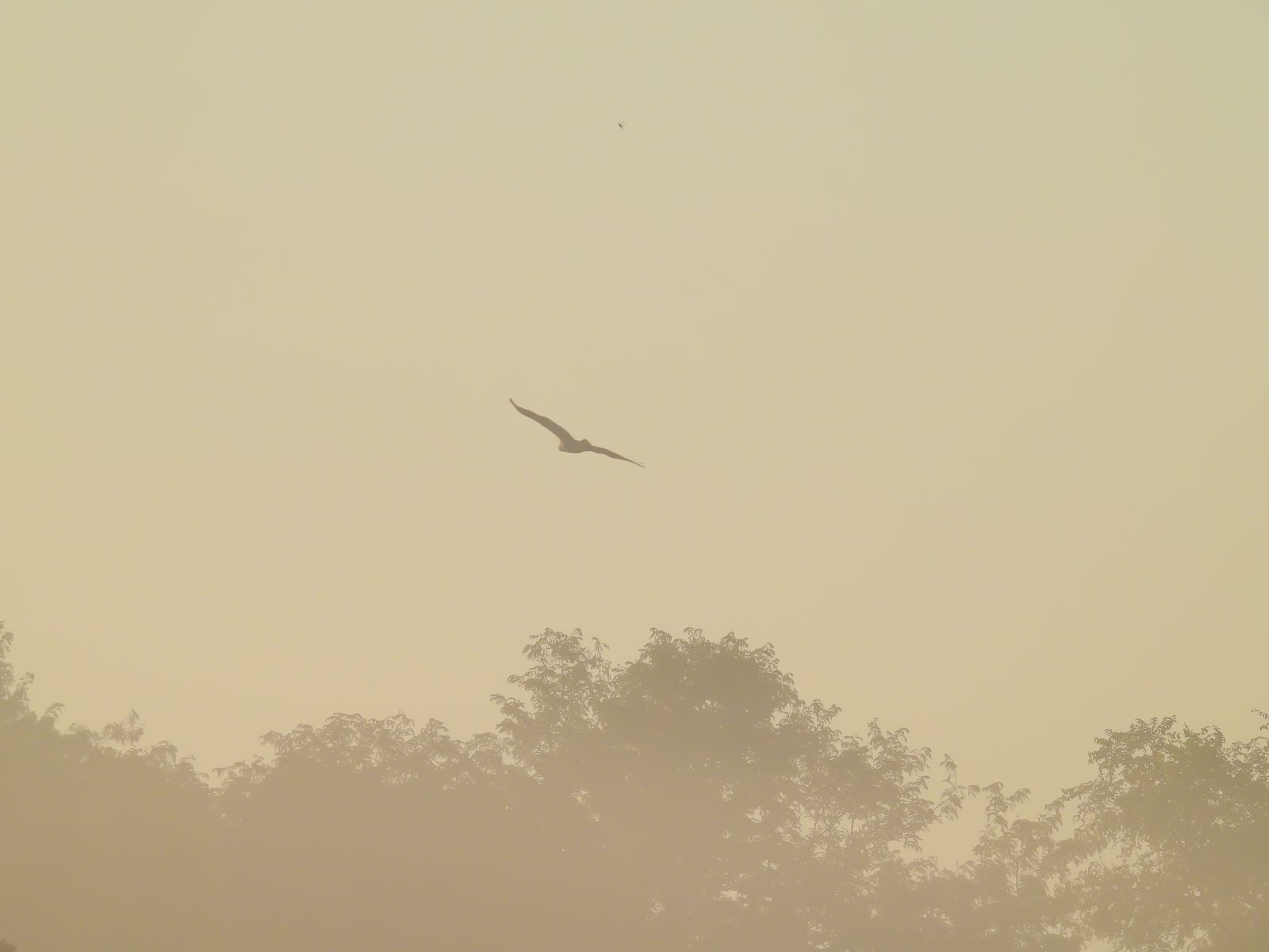 Red-Tailed Hawk in Flight on Warm, Misty Summer Morning Over Prairie