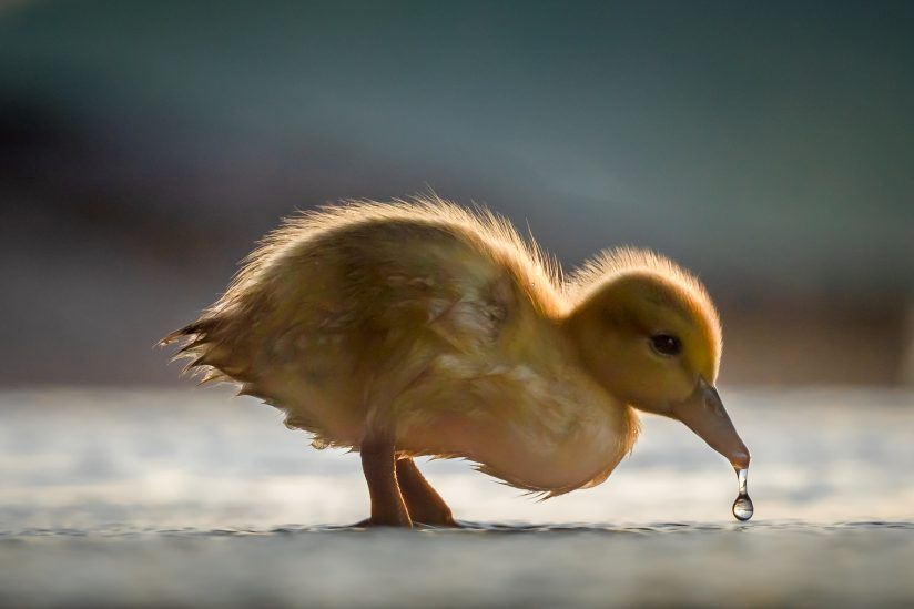Thirsty Duckling