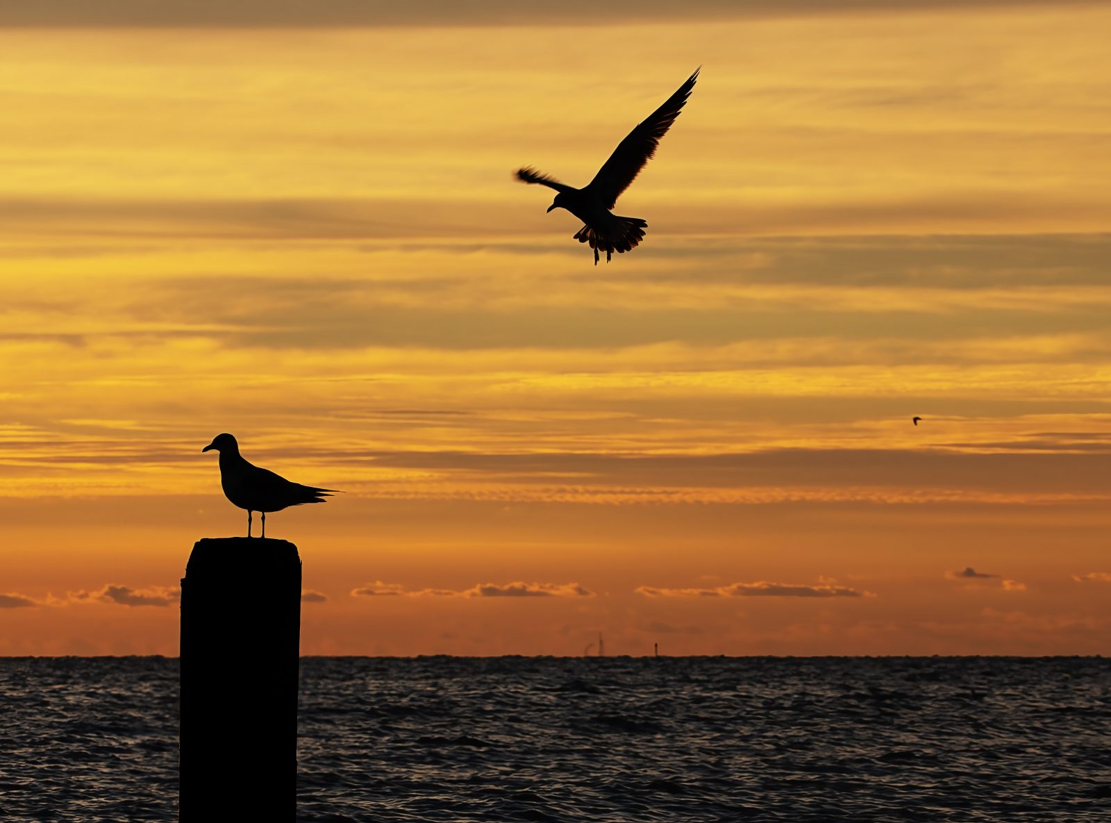 Incoming Gull Silhouette
