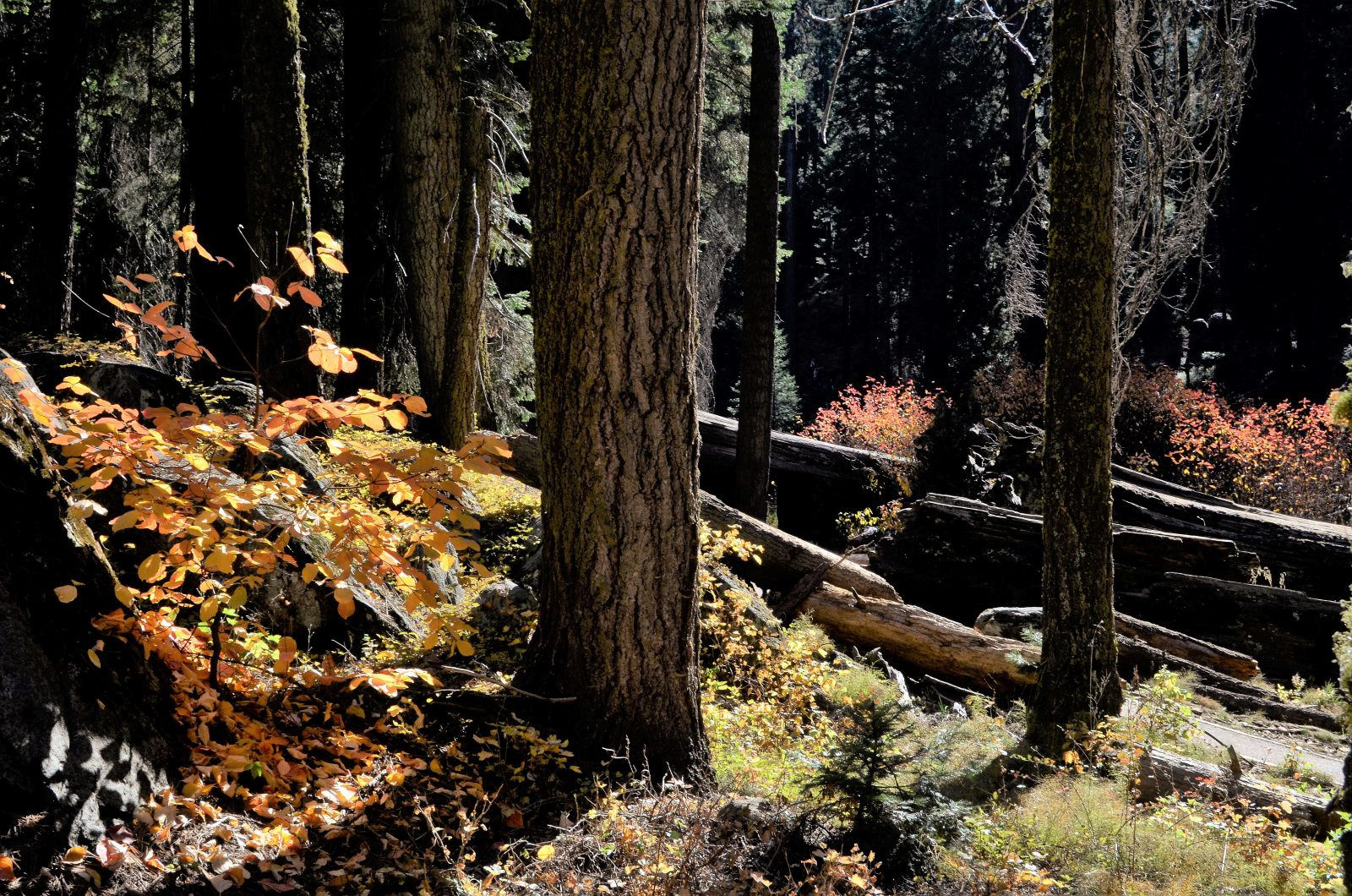 Fall Comes To Sequoia