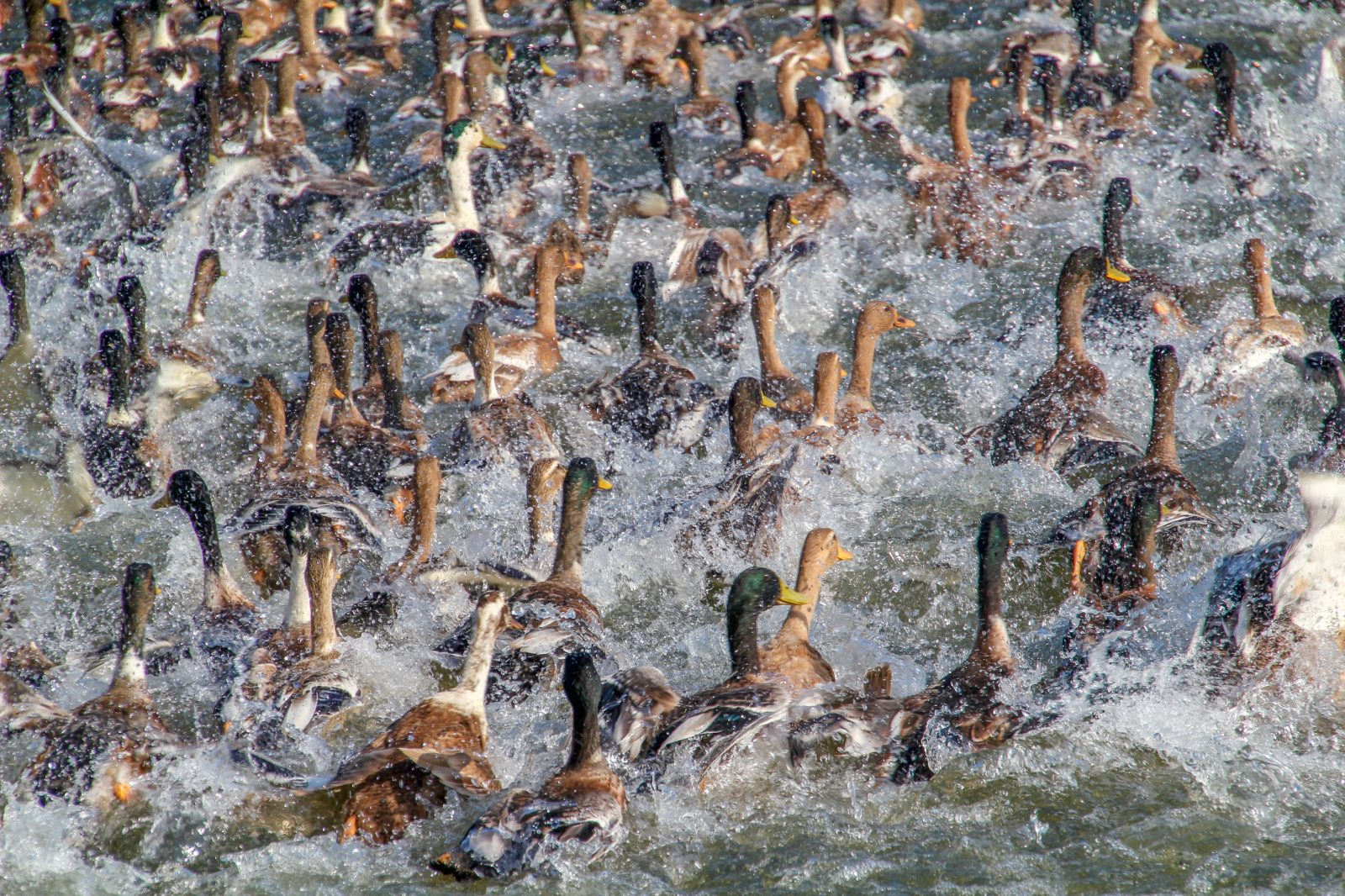 Ducks fleeing