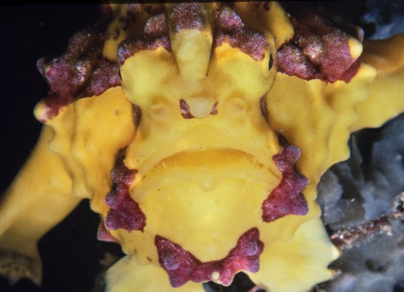 Frogfish Portrait