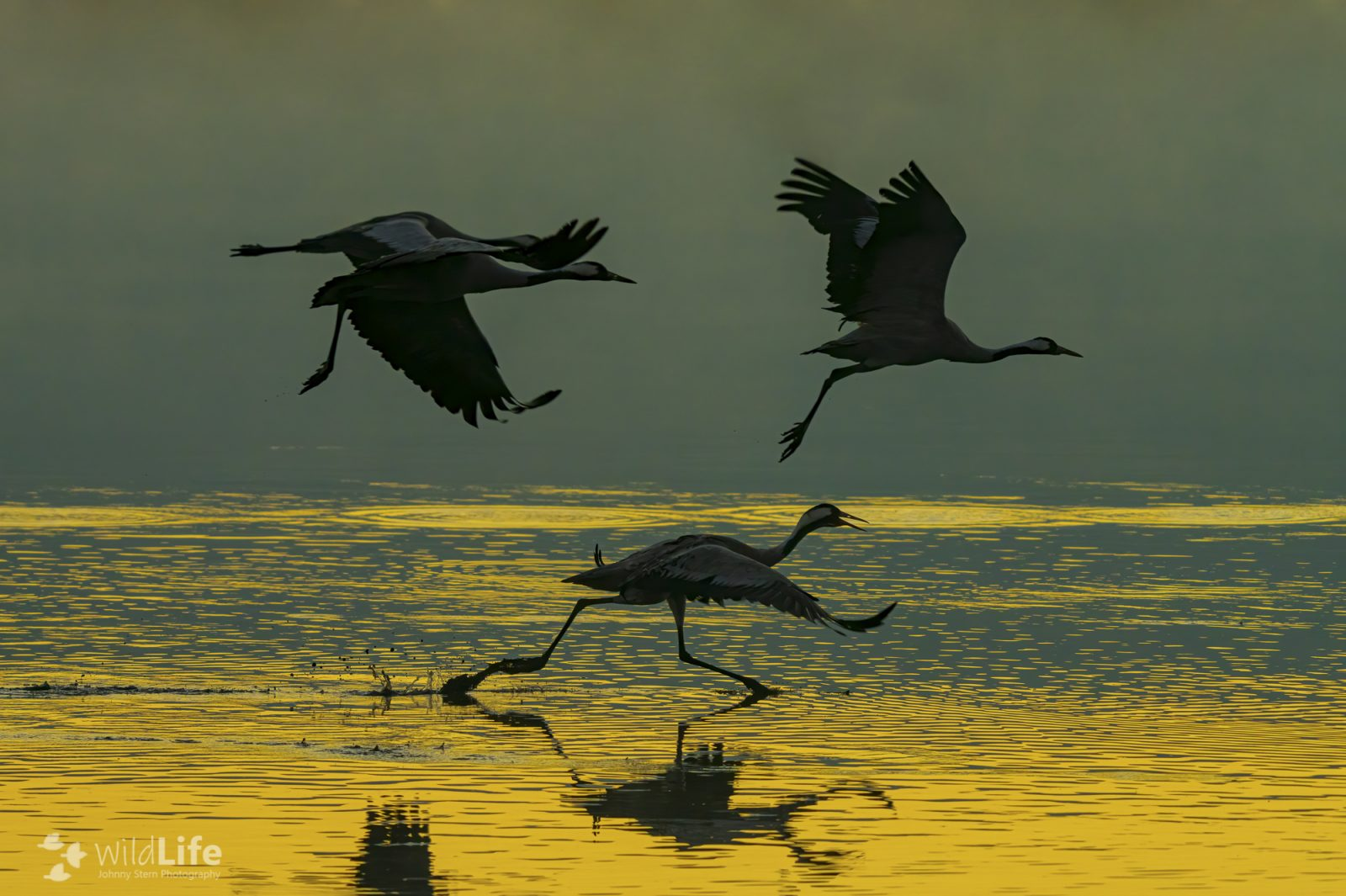 Cranes taking off from the Agamon Hula Lake in the Hula valley in northern Israel December