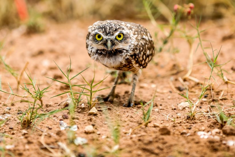 Glare of a Burrowing Owl