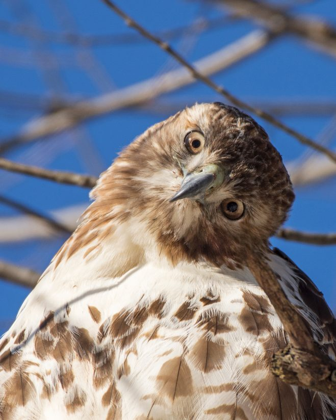 """Red Tail Hawk    """"What are you looking at?"""""""