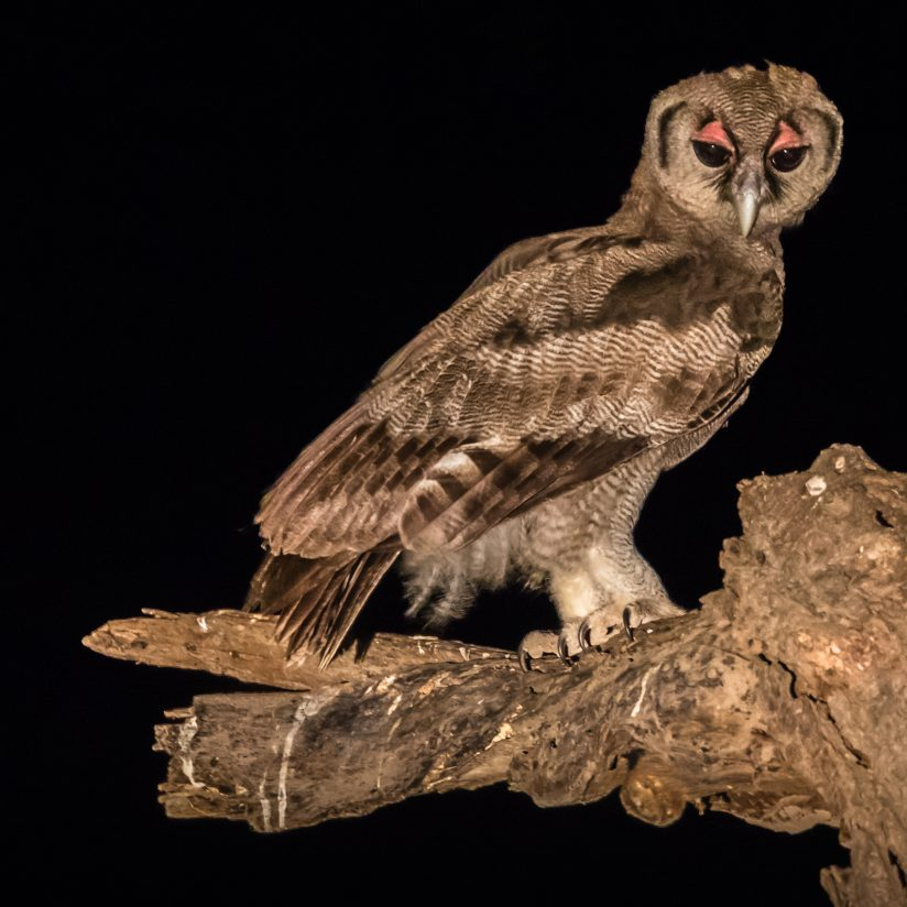 Verreaux's eagle-owl ready for night
