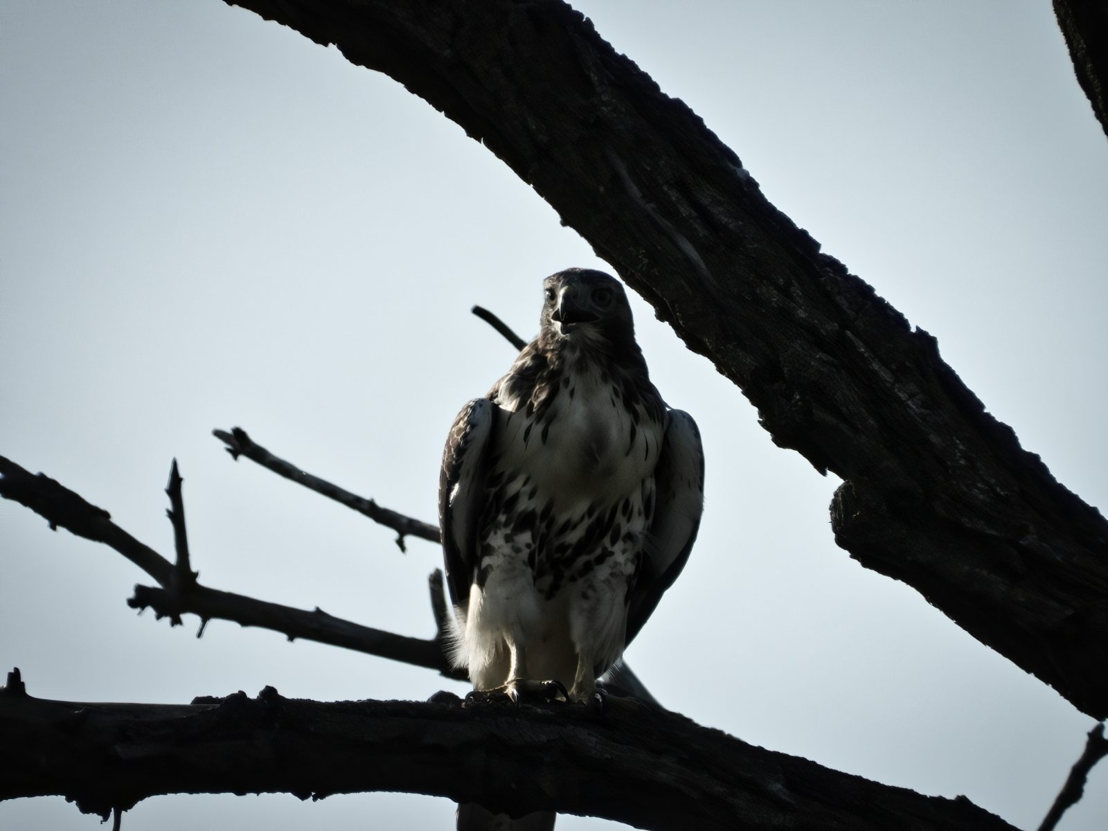 A Red-Tailed Hawk Perched on a Dead Tree Branch Beak Open Calling Out to Mate