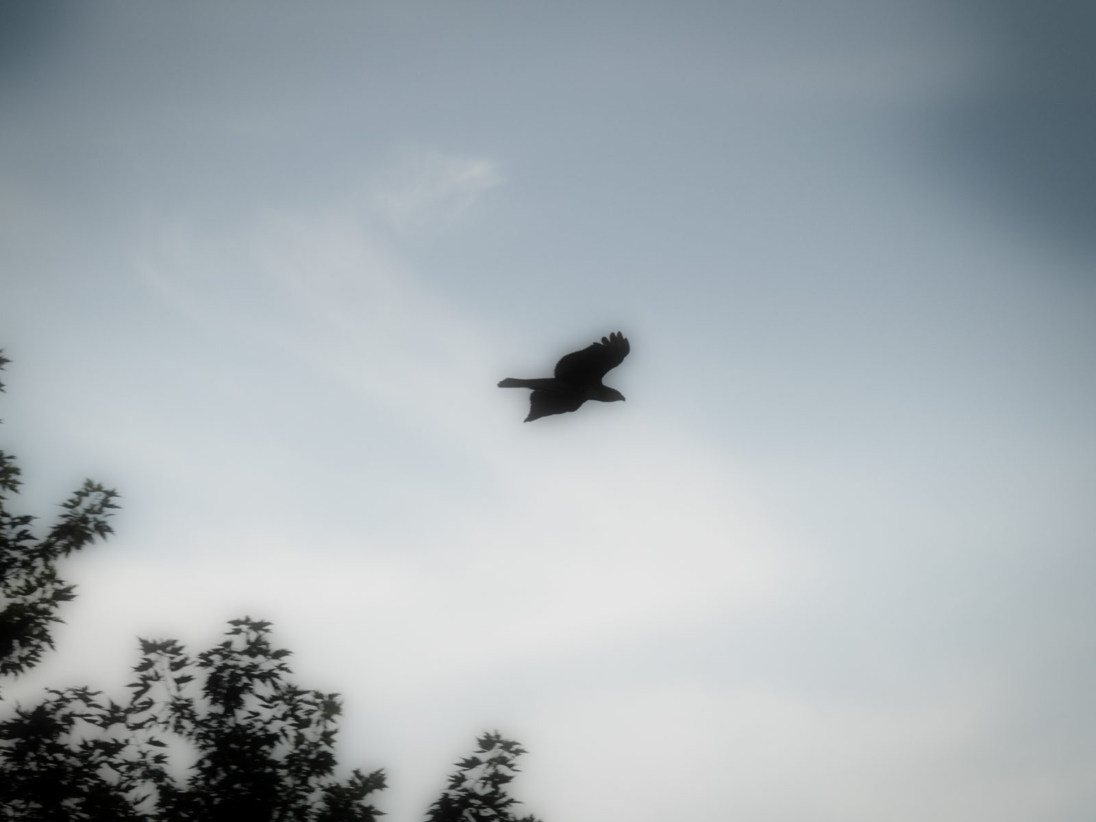 A Silhouette of a Red-Tailed Hawk on a Misty Grey Morning