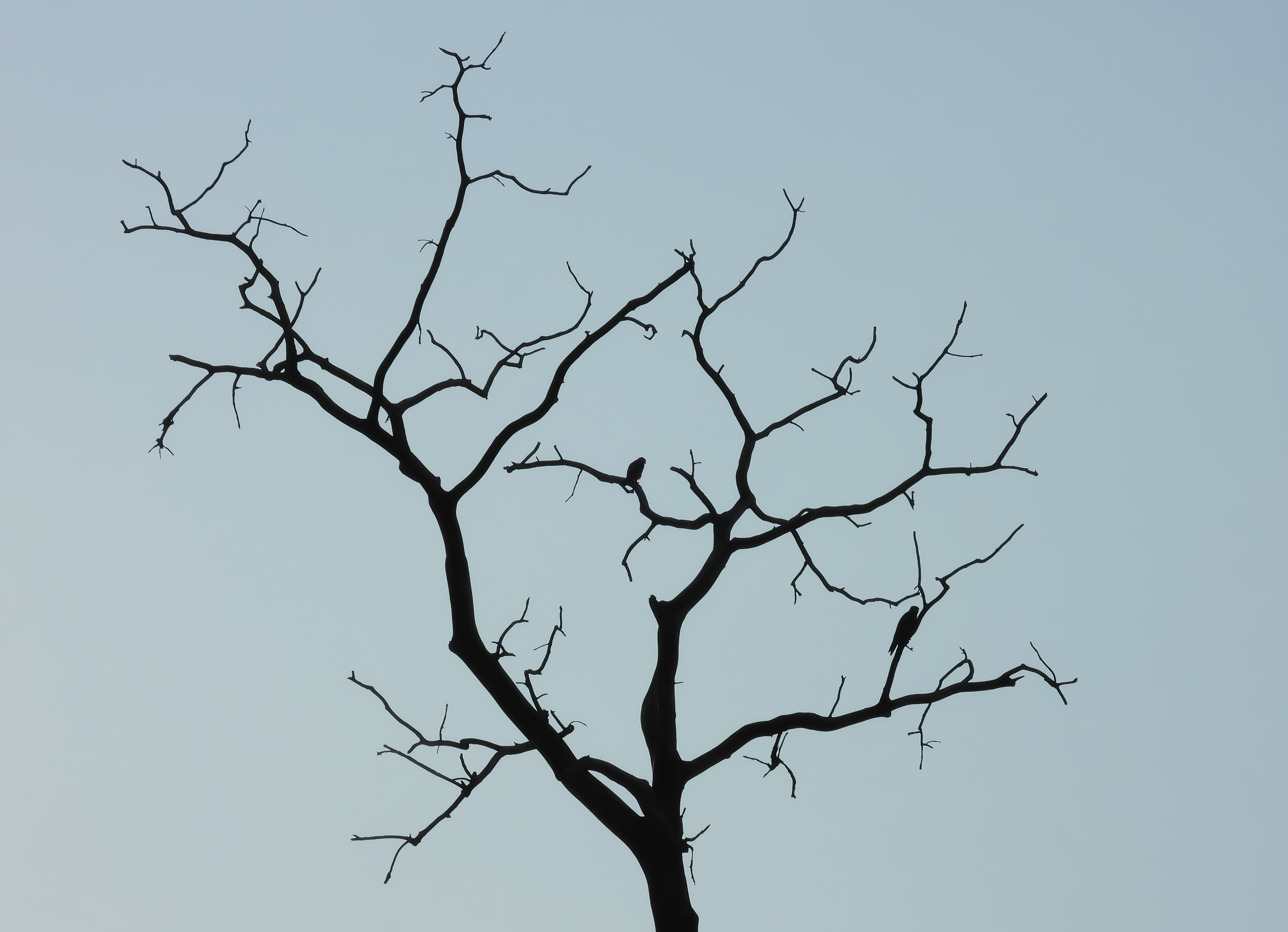 Cooper's Hawks Silhouetted in a Dead Tree