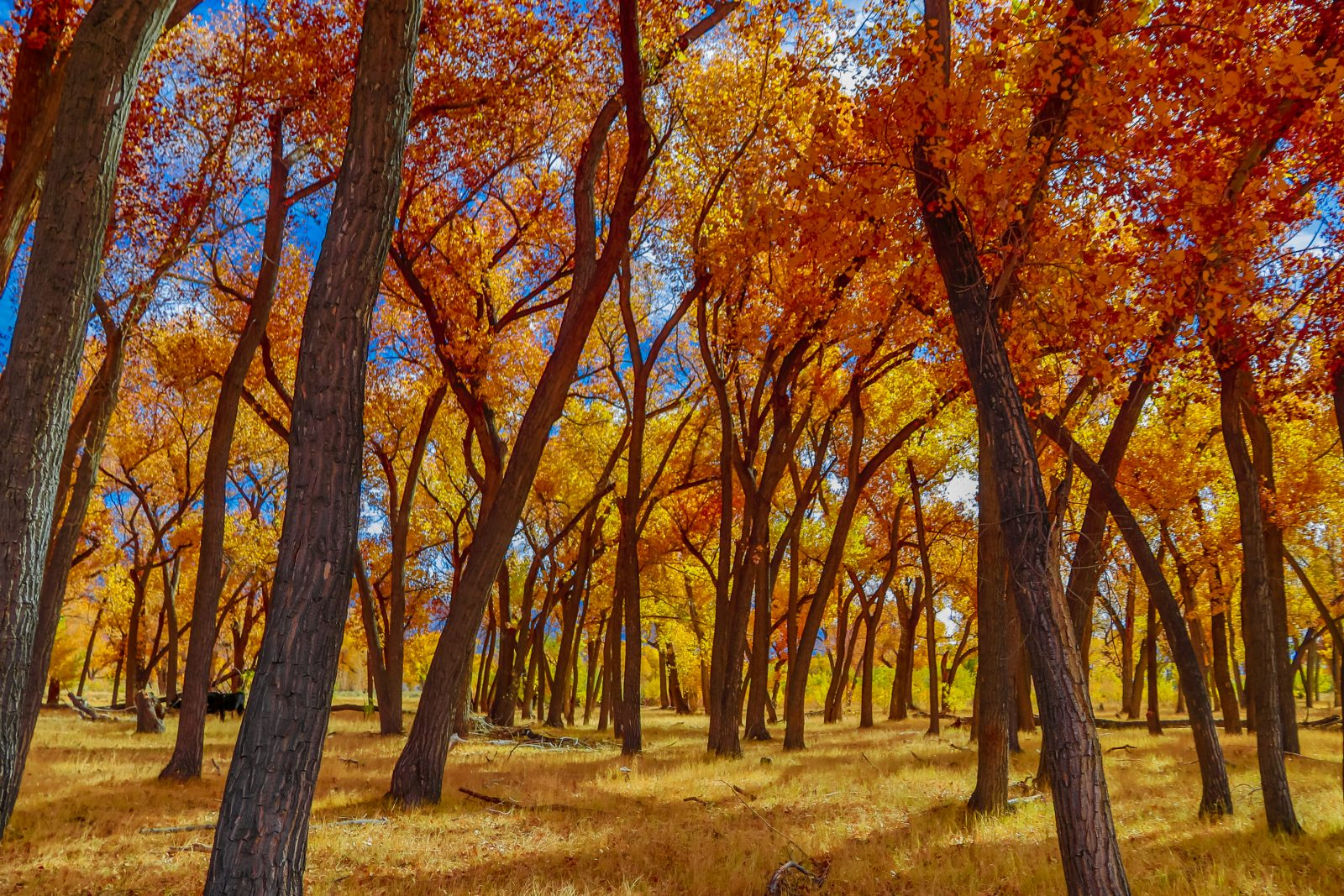The Cottonwood Forest Is Magcik