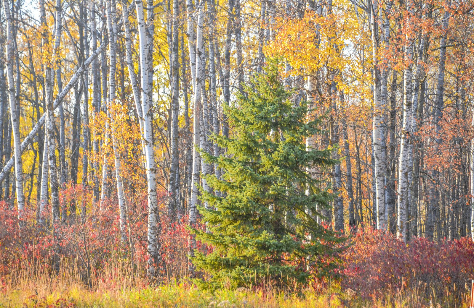 Birch Trees Surrounded by Color