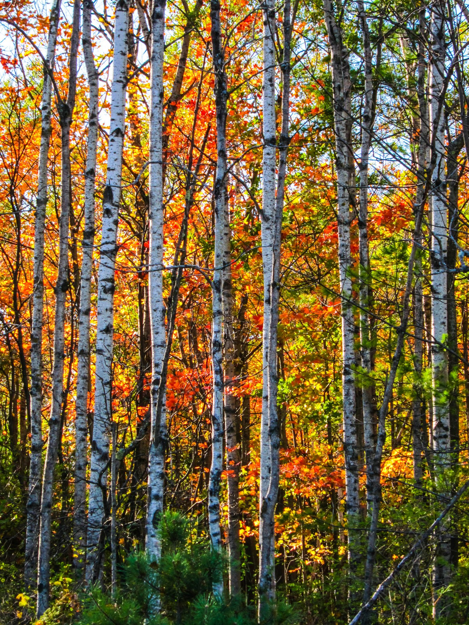 Color Behind the Birch