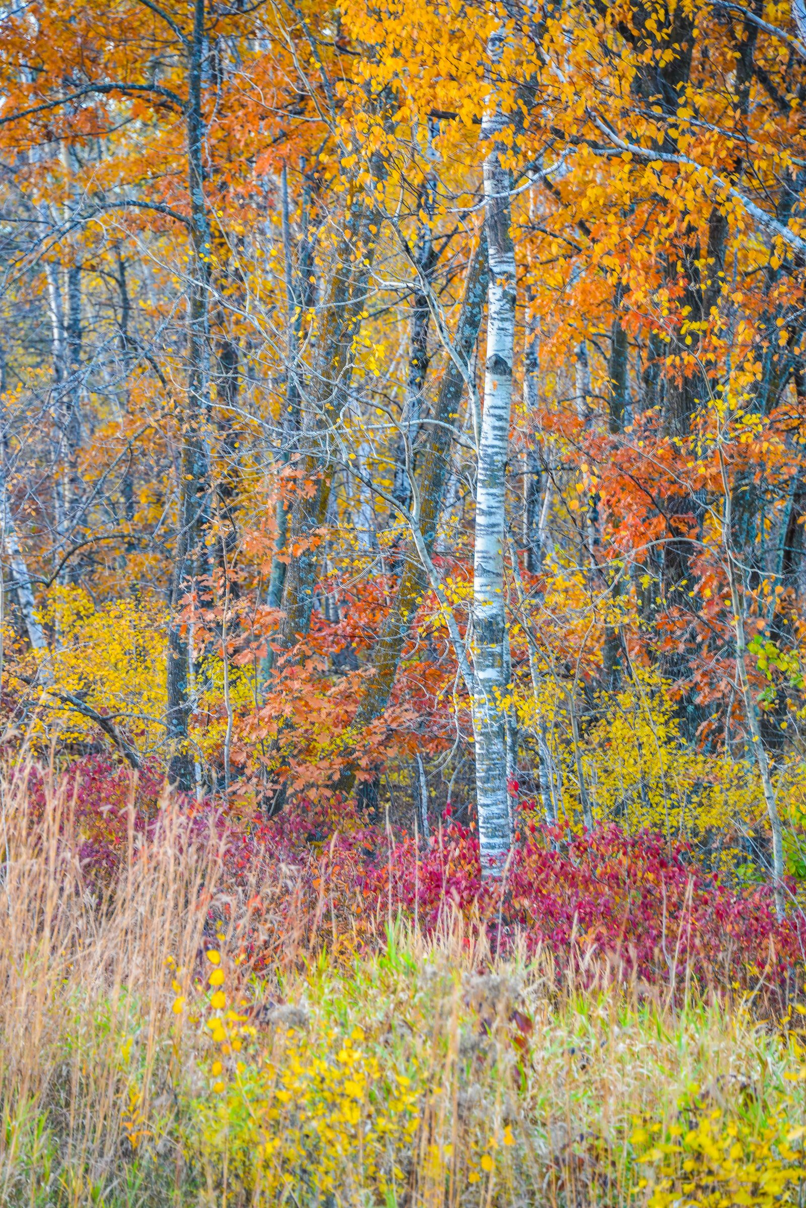 Birch Surrounded by Color