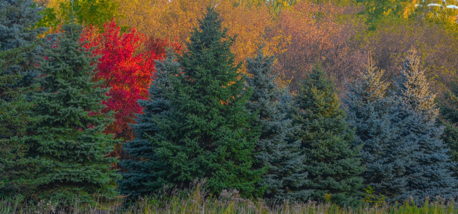 Touch of Red Among the Evergreens