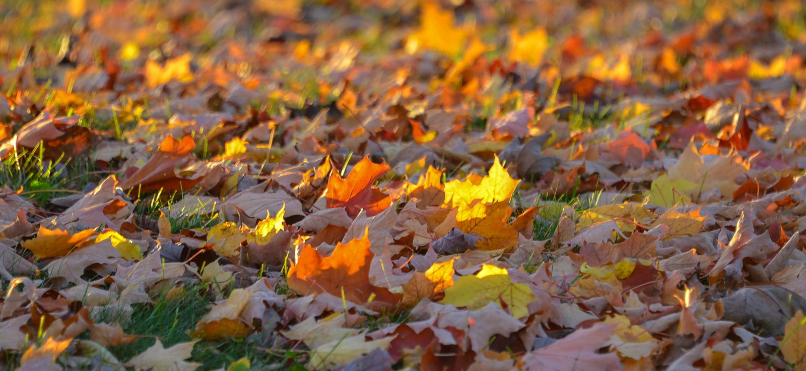 Fallen Leaves At Sunset