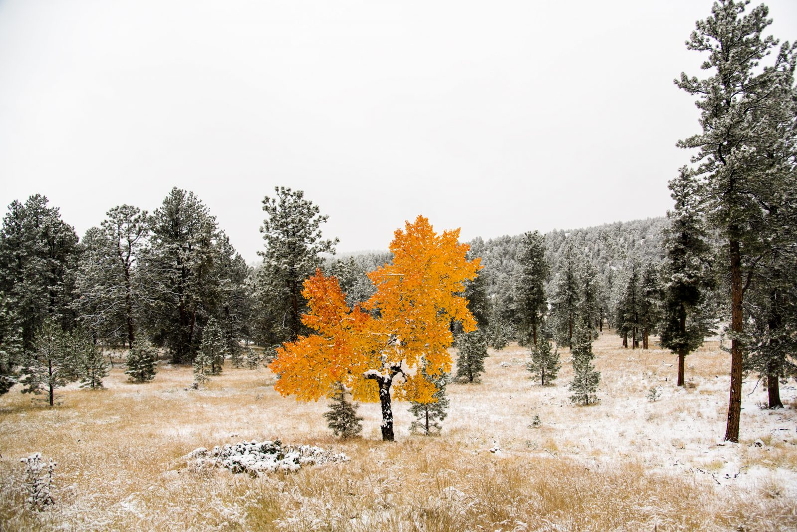 Lone Aspen in First Snow