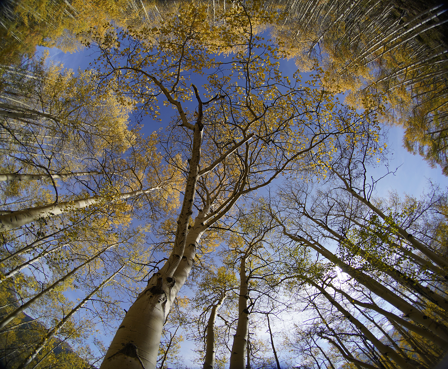 Looking up to the Aspens