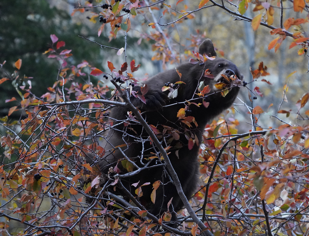 Black Bear and the Berries