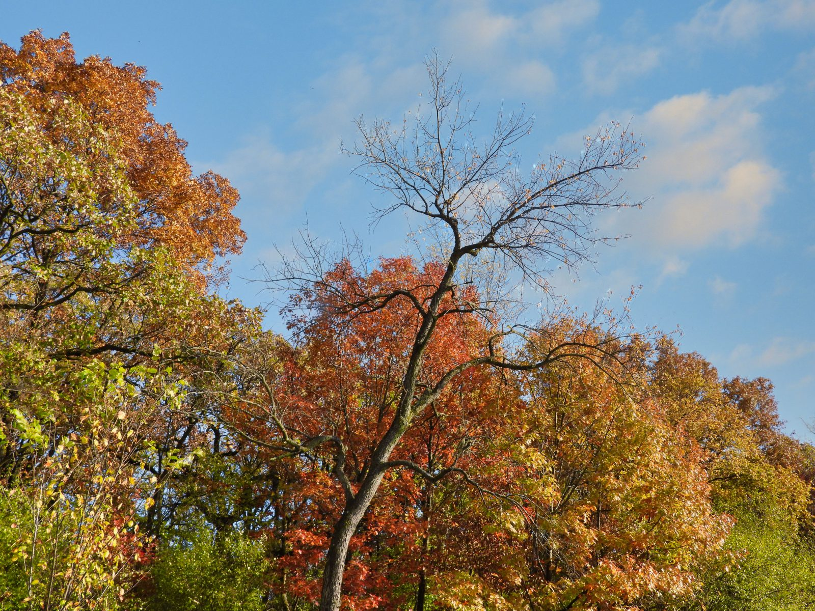 Bare Tree Stands in Front of Forest of Trees Filled with Autumn Colored Leaves in this Fall Landscape View from an Bright October Day