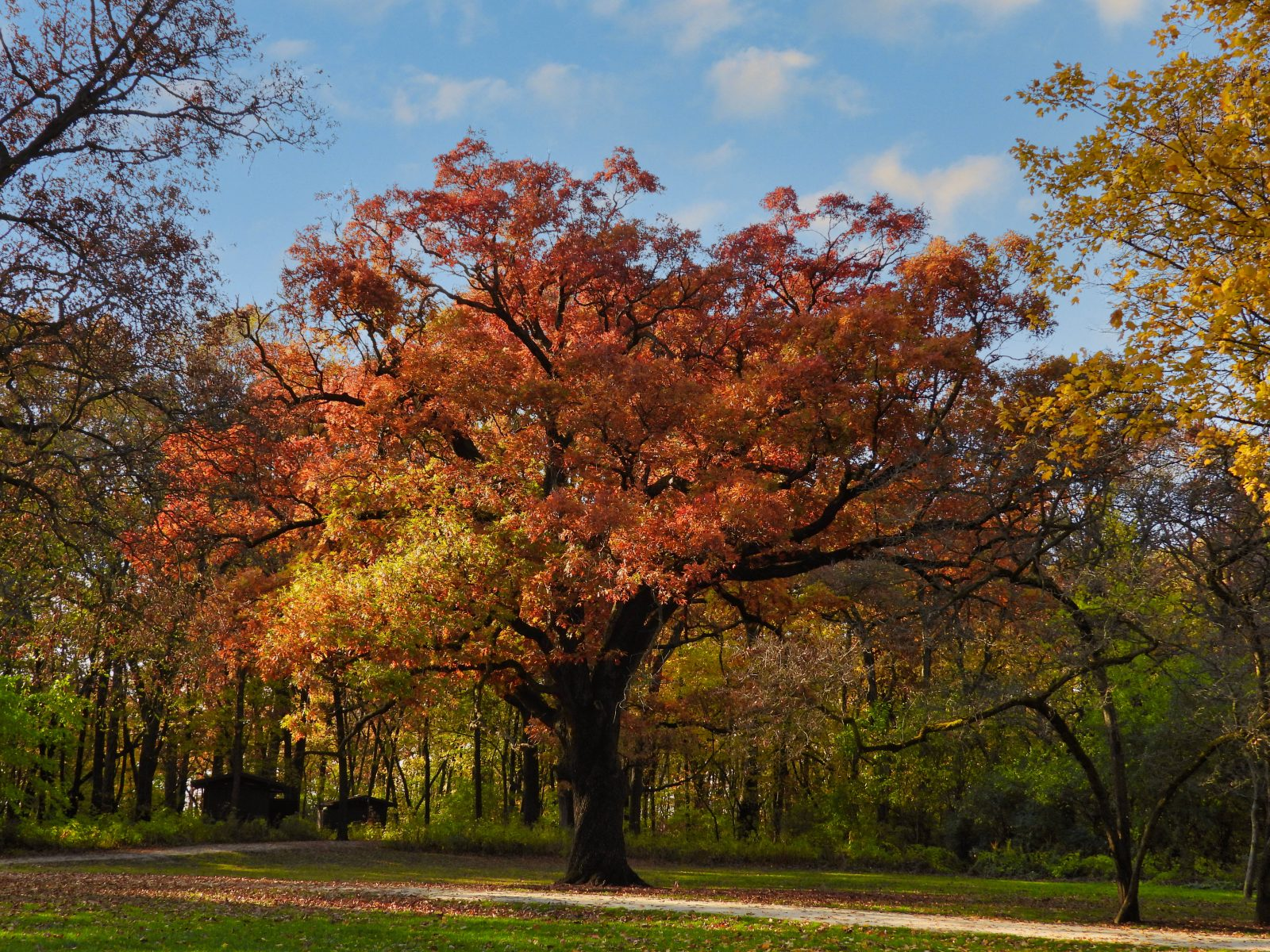 Glowing Red, Orange and Yellow Oak Tree in Late Fall with Bright Blue Sky with a Few White Clouds Above Beautiful Autumn Landscape Scenic View in Wooded Forest