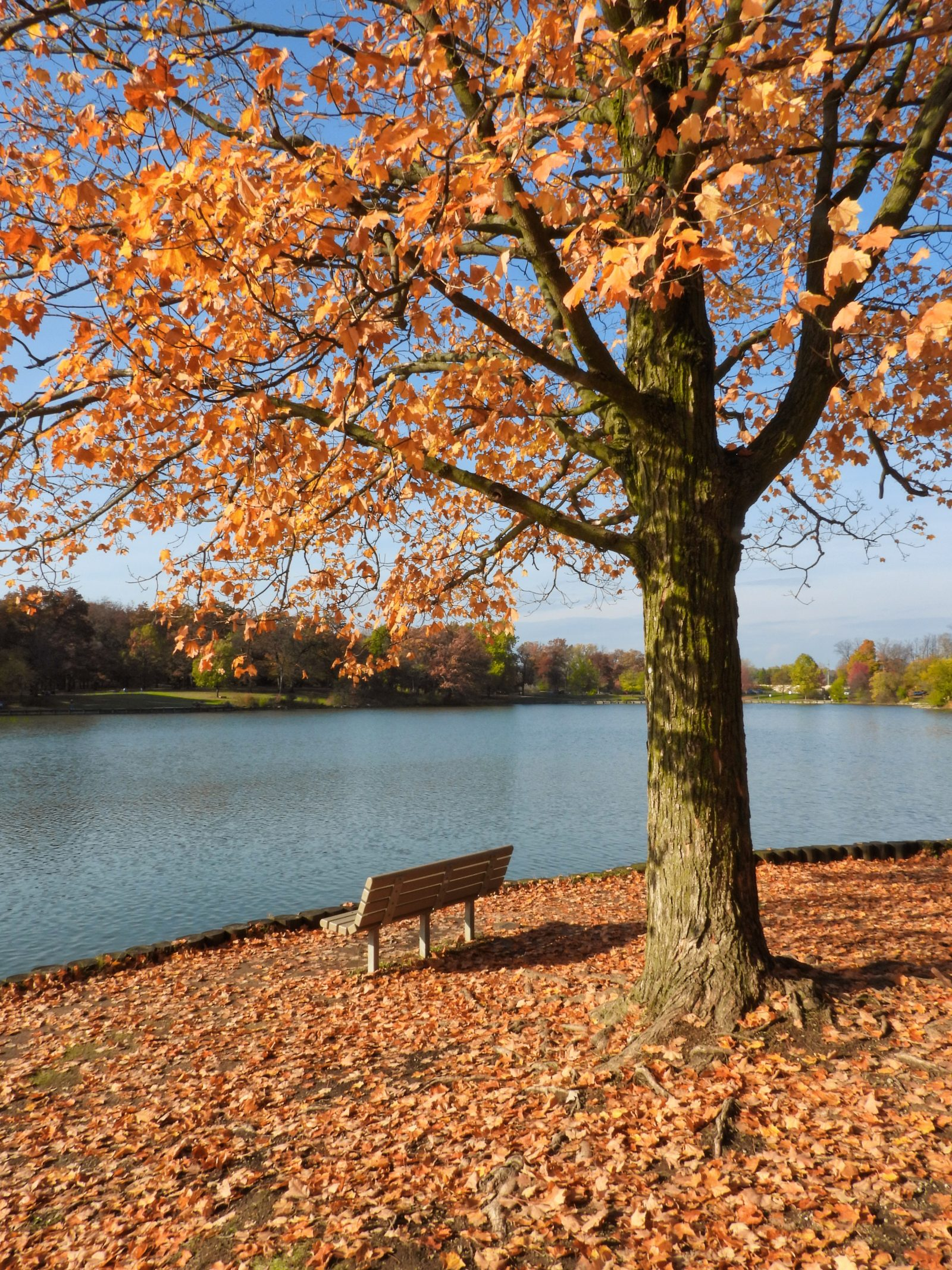 Maple Tree in Fall with Remaining Orange and Yellow Leaves with Park Bench in Front Lakeside with Leaves on the Ground Looking over the Lake on a Sunny Autumn Day
