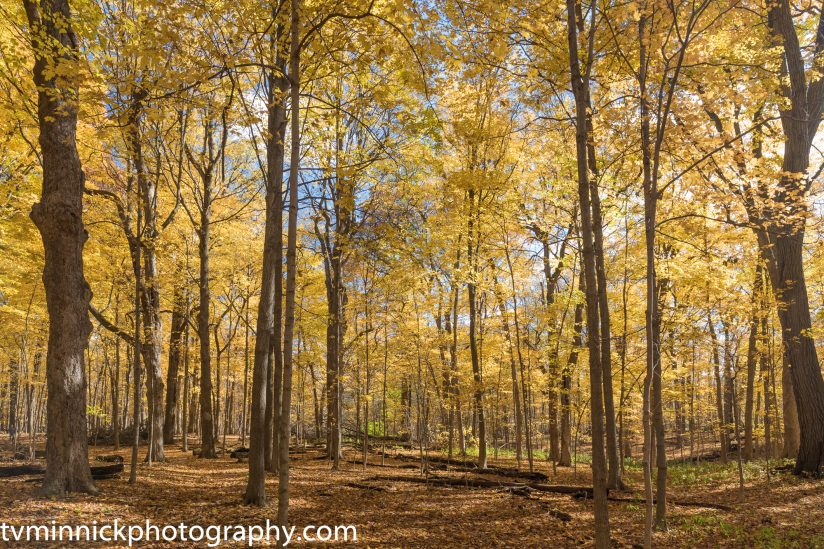 Backlit Trees in Autumn