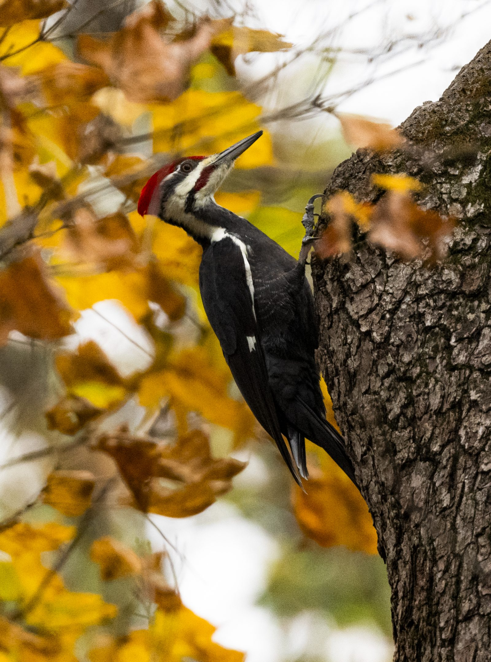 Piliated Woodpecker in the Fall Leaves