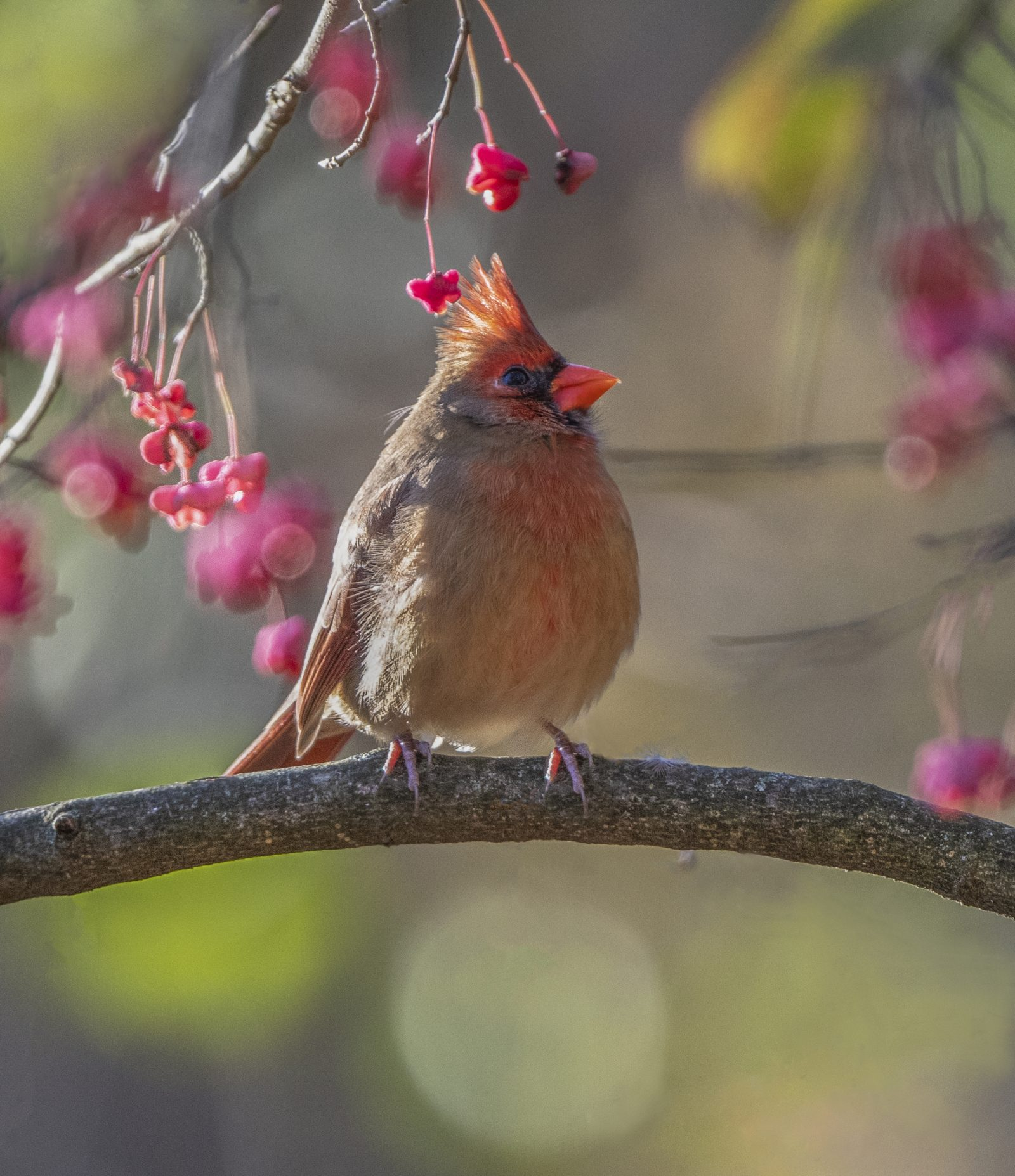 Female Cardinal on a Wahoo Tree in the Fall Colors
