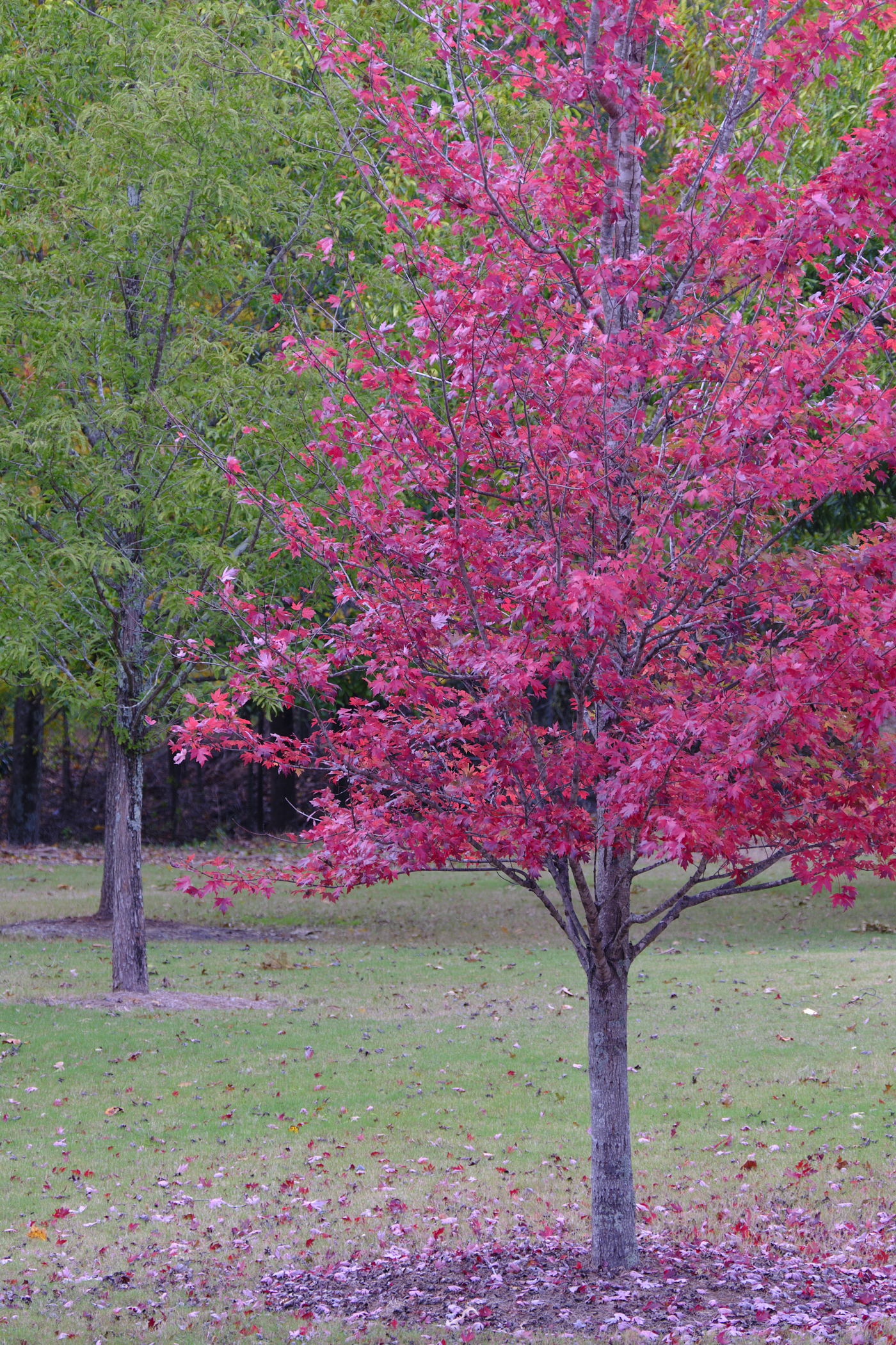 Two Trees Red and Green